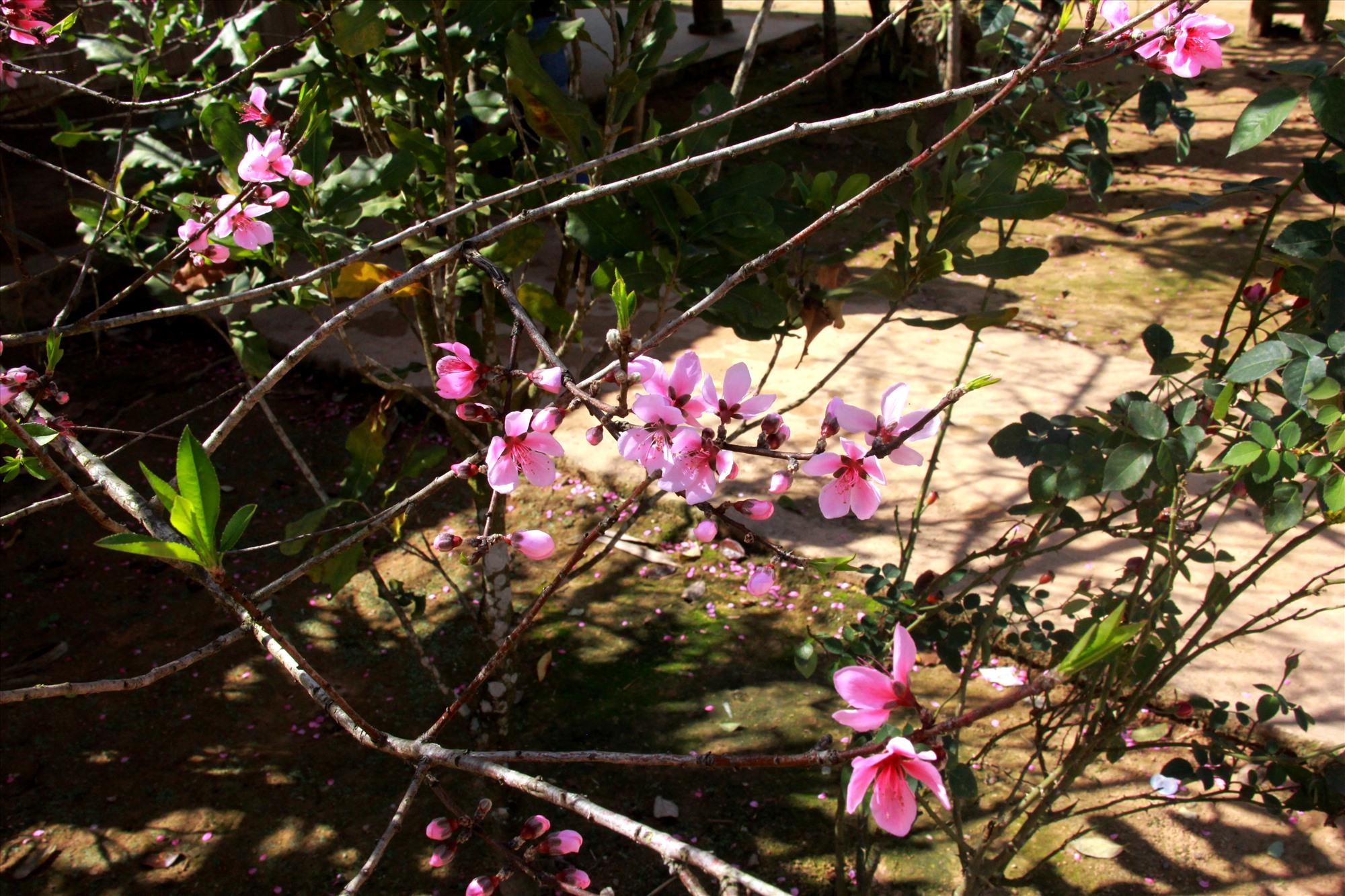 Theo già làng Pơloong Jim, điều thú vị ở loài hoa đào này, ngoài trổ bông đúng vào dịp tết còn kéo dài được thời gian nở. Hoa không tàn sớm như một số loại hoa khác ở vùng biên này. Ảnh: Đ.N