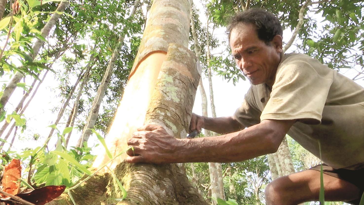 Người dân gìn giữ rừng quế không chỉ tạo ra sinh kế mà còn bảo vệ rừng, bảo vệ đất. Ảnh: D.L