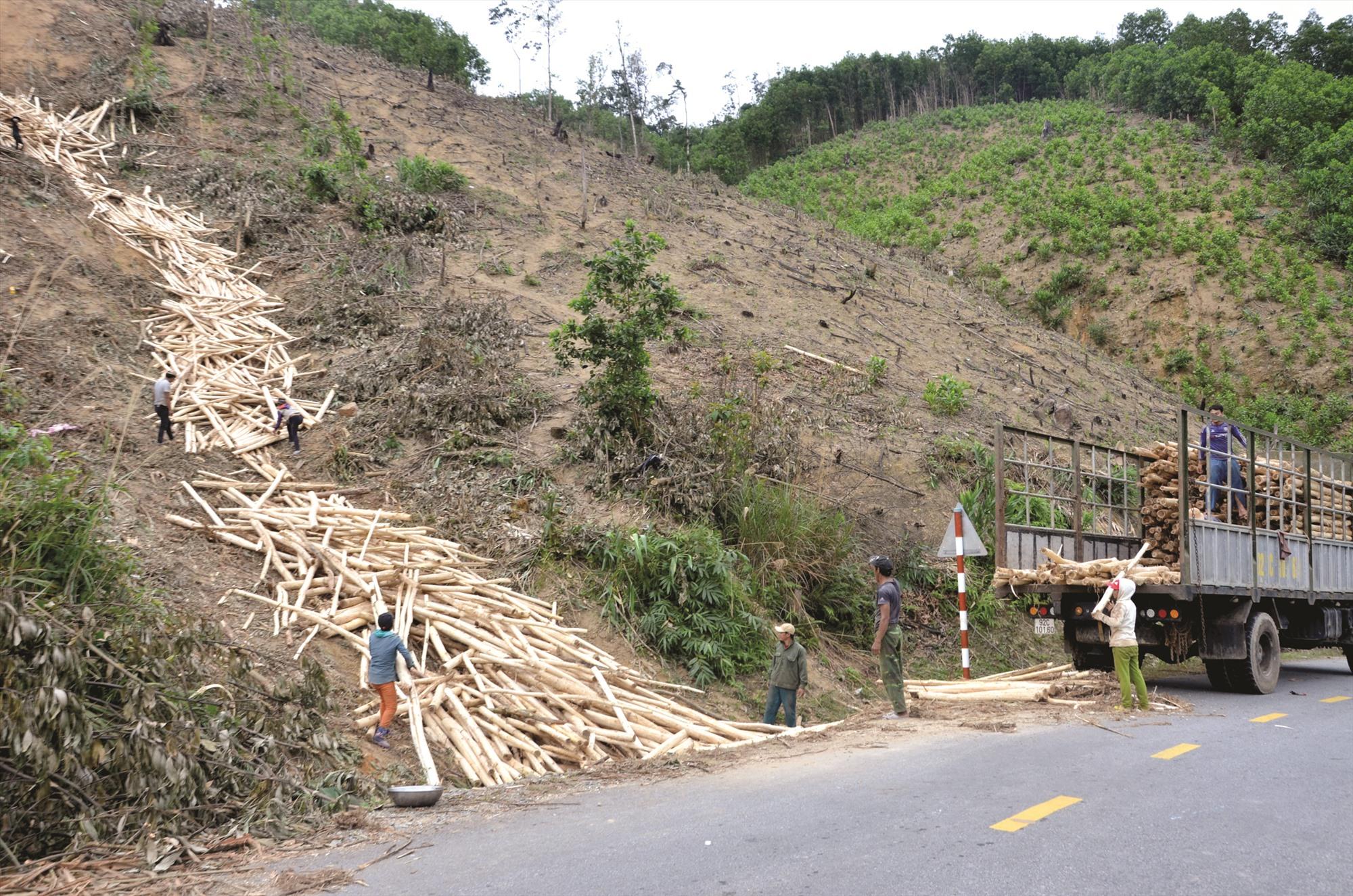 Thu hoạch vận chuyển keo ở xã Trà Tập (Nam Trà My). Ảnh: H.P
