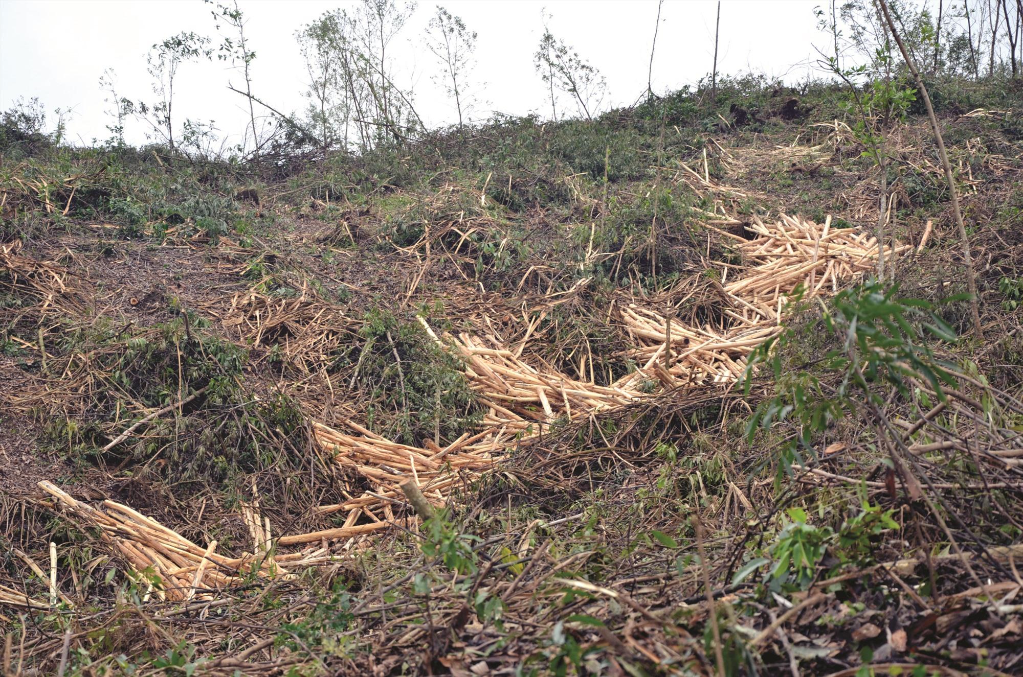 Cần có chính sách bảo hiểm cây trồng để phát triển ngành lâm nghiệp bền vững. TRONG ẢNH: Khai thác keo đổ ngã do bão số 9 năm 2020 tại thị trấn Tân Bình (Hiệp Đức). Ảnh: H.P