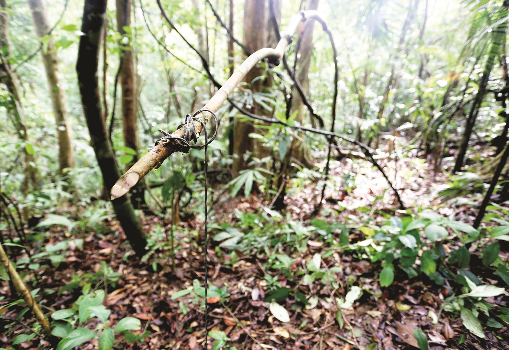 """Chiếc bẫy kiểu """"thắt cổ"""" được làm đơn giản, dây thép nối với một nhành cây uốn cong tạo thành sức bật."""