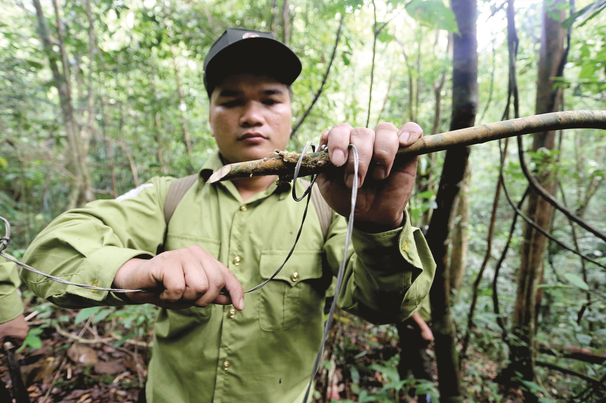 """Anh A Ting Lập gỡ chiếc bẫy thú để tịch thu, cho biết: """"Trước đây, thợ săn dùng cây, lá rừng làm một hàng rào trong rừng để đặt cả ngàn cái bẫy. Cách làm này dễ bị chúng tôi phát hiện. Sau đó thợ săn chuyển qua đặt bẫy tinh vi hơn. Họ đi tìm những đường đi của thú đặt bẫy rải rác và ngụy trang rất khó phát hiện""""."""