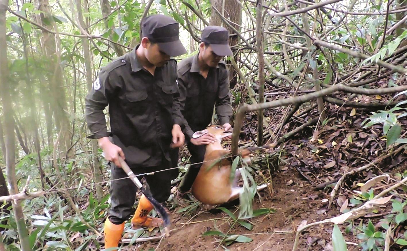 """Một con mang mắc bẫy được giải cứu thả về rừng. """"Ngoài việc tuần tra phá bẫy thì khu bảo tồn tuyên truyền và hỗ trợ sinh kế cho cộng đồng để người dân bảo vệ rừng và thay đổi tập quán săn bắt"""" - ông Lê Hoàng Sơn, Phó Giám đốc Khu bảo tồn loài Sao la Quảng Nam nói."""
