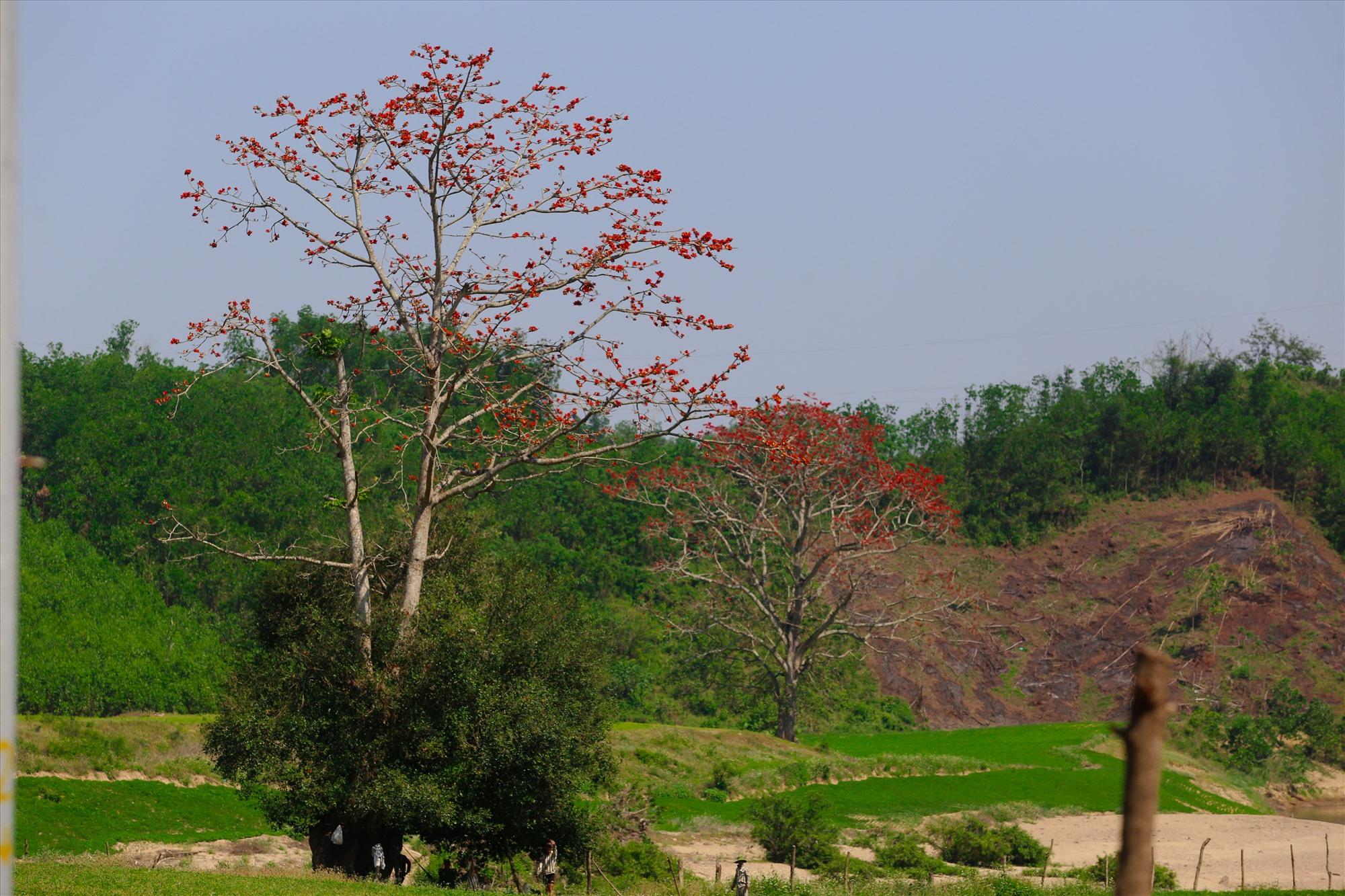 Khác với miền bắc, hoa gạo ở đất Quảng thường mọc rải rác. Ảnh: T.C