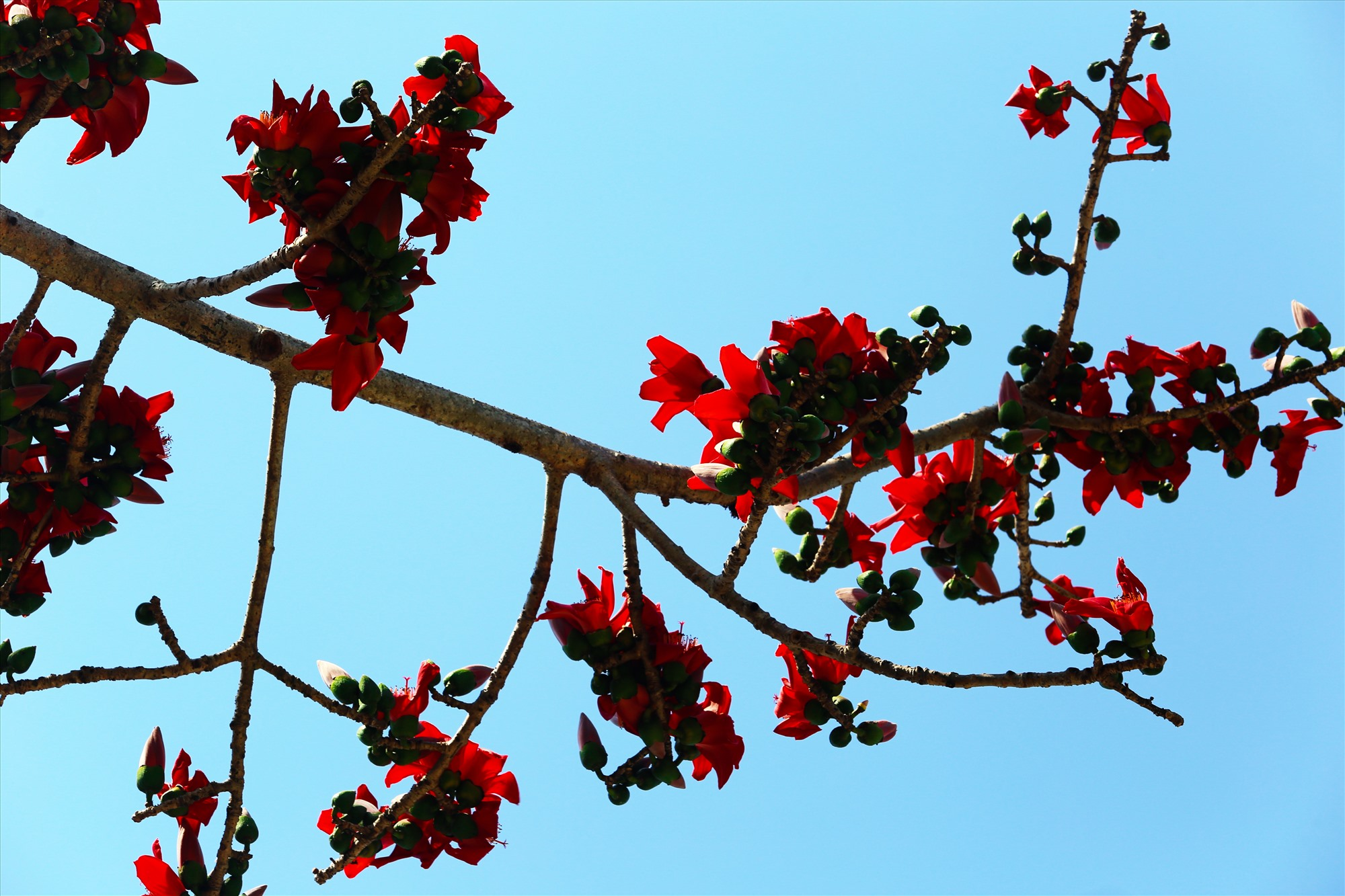 Hoa mọc dày thành cụm, nở trước khi cây lá non. Ảnh: T.C