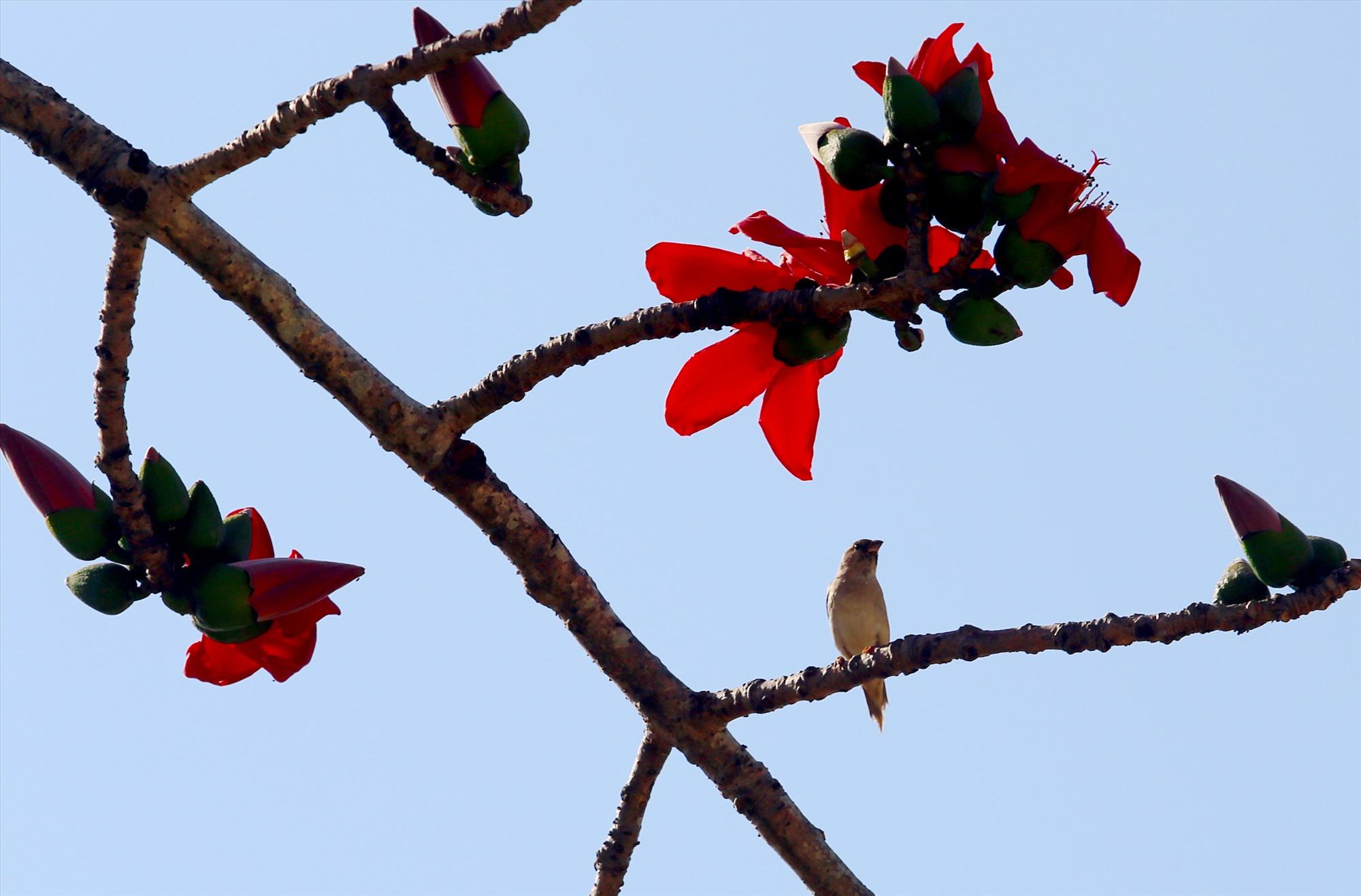 Màu hoa gạo dụ dỗ chim chóc kéo về. Ảnh: T.C