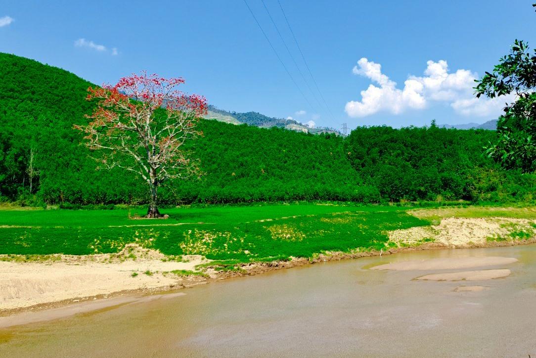 Hoa gạo nở đỏ rực trên nền xanh bãi biền. Ảnh: T.C