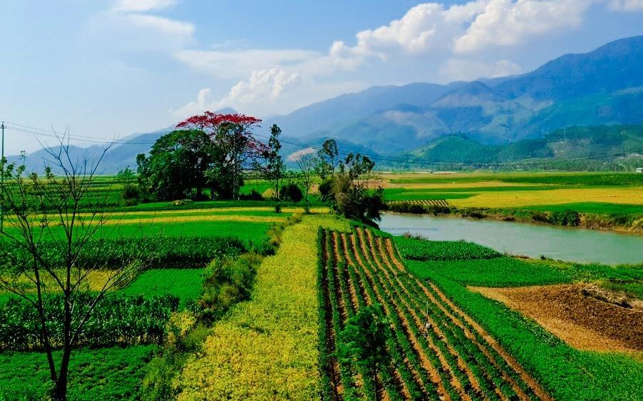 Nhìn từ xa, vẫn thấy sắc đỏ rực rỡ của một cây hoa gạo lớn mọc giữa cánh đồng dưới chân cầu Hà Nha (Đại Lộc). Ảnh: T.C