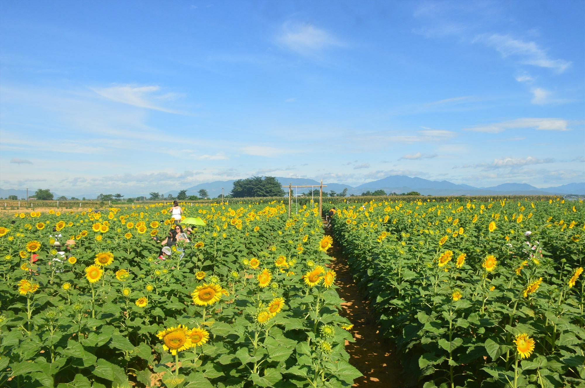 Cánh đồng hoa hướng dương ven sông Thu Bồn (thôn Kỳ Lam, xã Điện Quang) thu hút du khách gần xa tham quan. Ảnh: CT