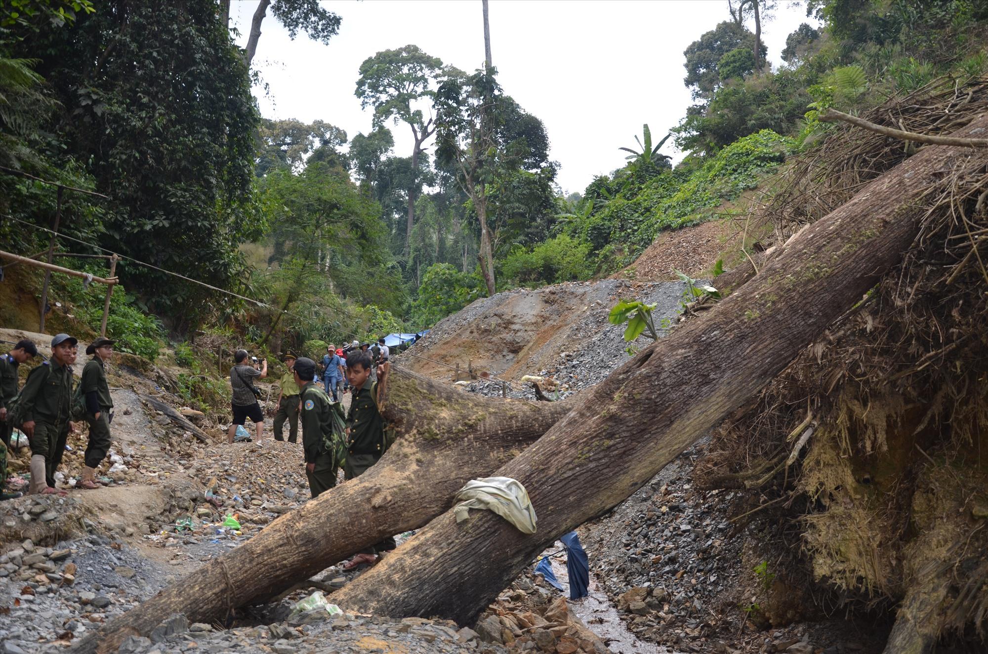 Nhiều cây cổ thụ trong Vườn Quốc gia Sông Thanh bị đốn hạ để xây dựng bãi vàng trái phép.