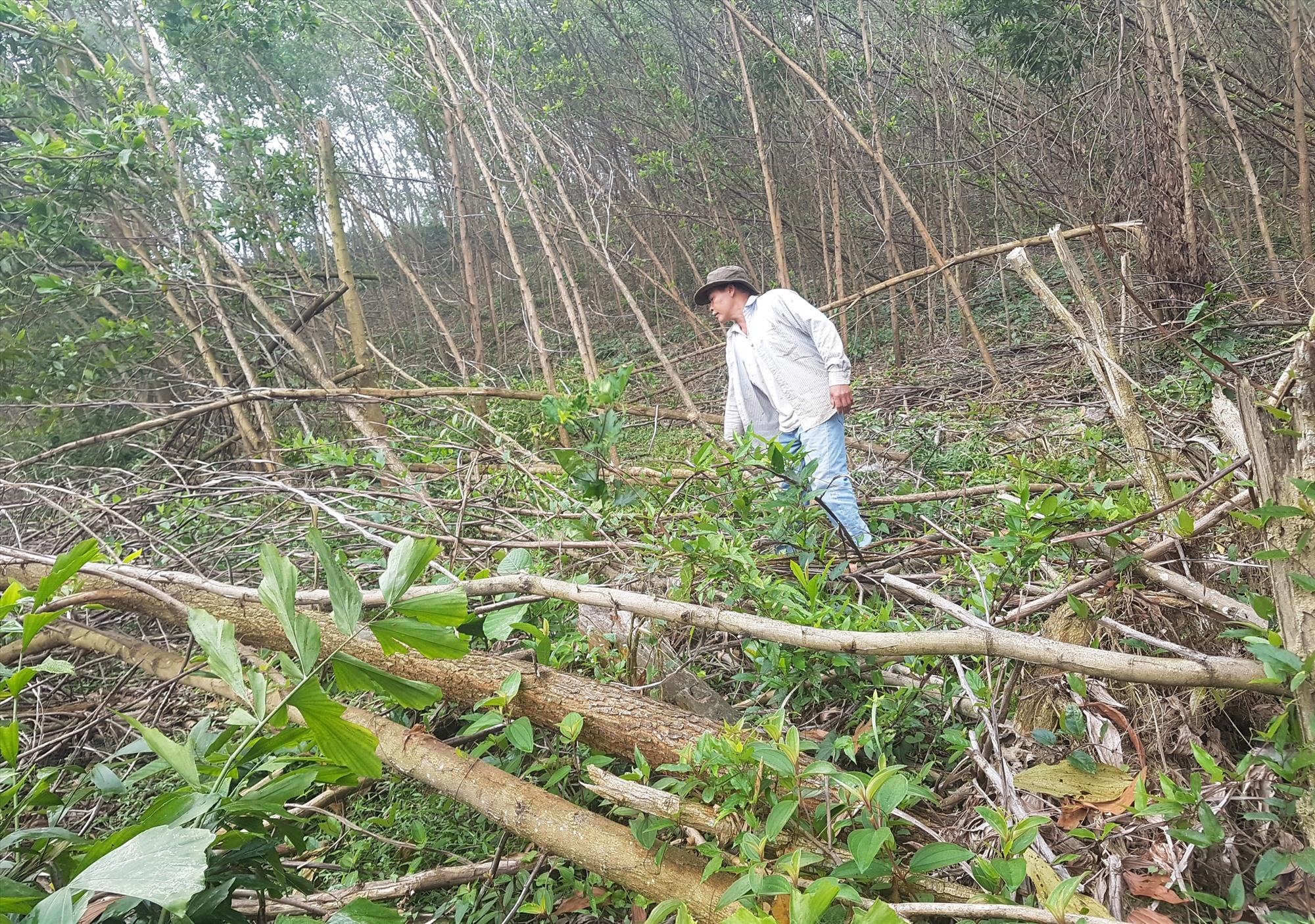 Người dân huyện Bắc Trà My khai thác tận thu, dọn dẹp keo bị hư hại để trồng mới. Ảnh: D.L