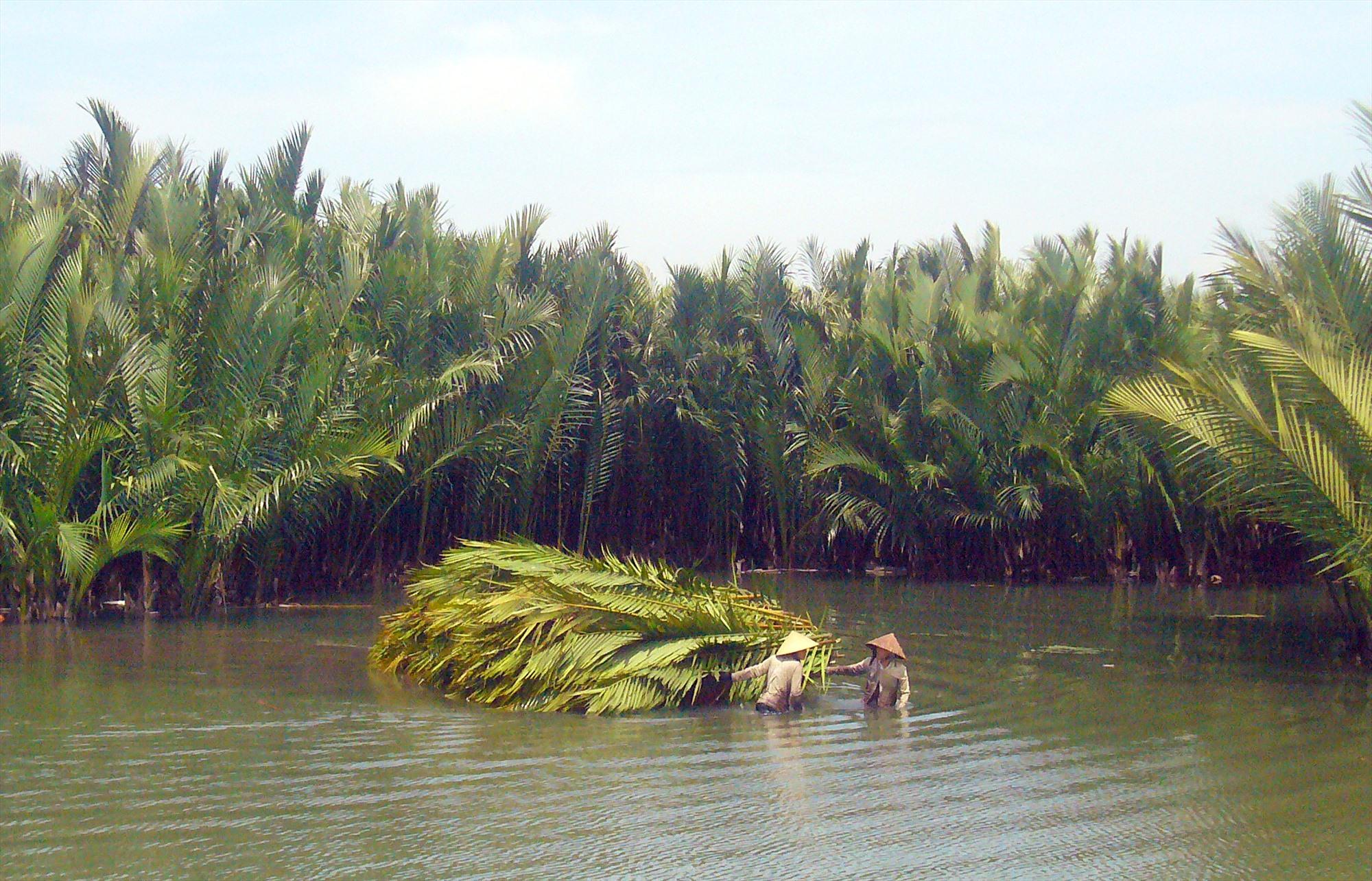 Cộng đồng cư dân xã Cẩm Thanh nêu cao ý thức bảo vệ rừng dừa và giữ vệ sinh môi trường vùng sông nước. Ảnh: ĐỖ HUẤN