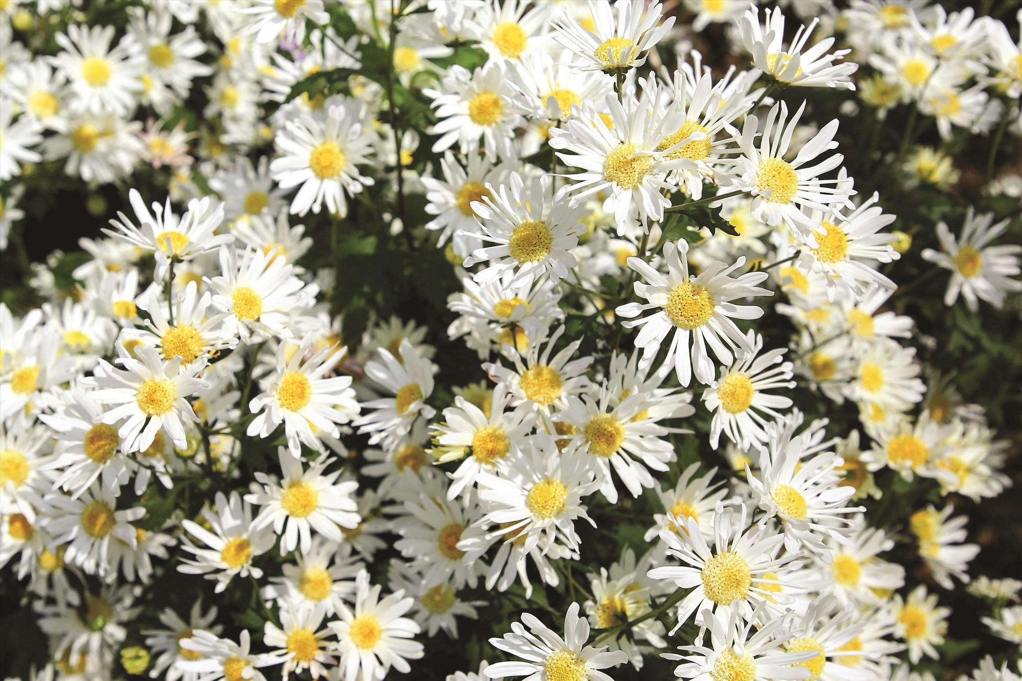 Dù nở trái mùa, cúc hoạ mi vẫn khoe sắc với cánh trắng, nụ vàng và thân vươn cao.