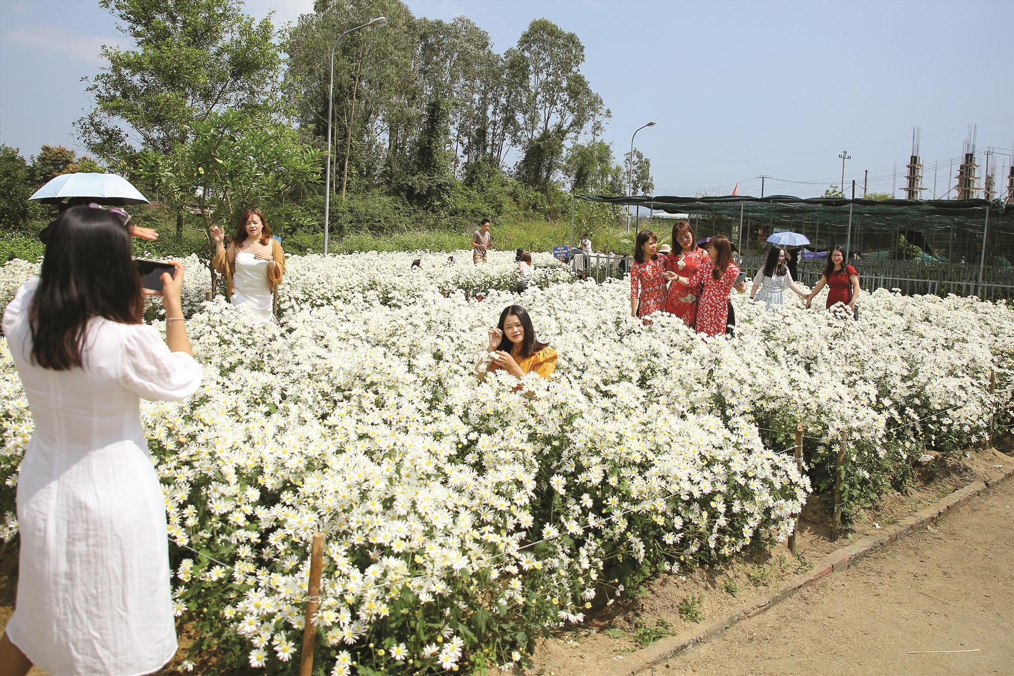 Vườn cúc họa mi thu hút đông người dân và du khách đến chụp ảnh.