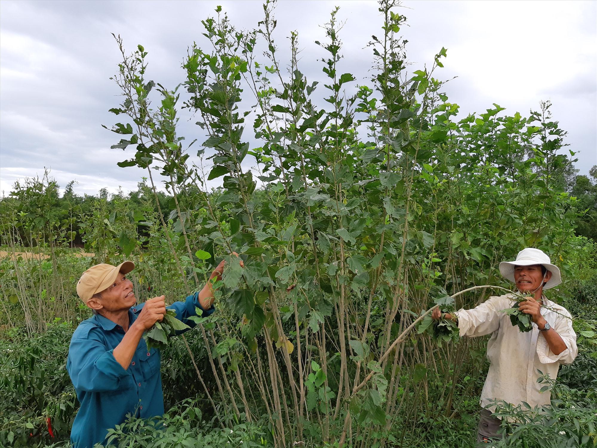 Ứng dụng khoa học - công nghệ phục hồi vùng trồng dâu nuôi tằm ở Quảng Nam. Ảnh: HOÀNG LIÊN