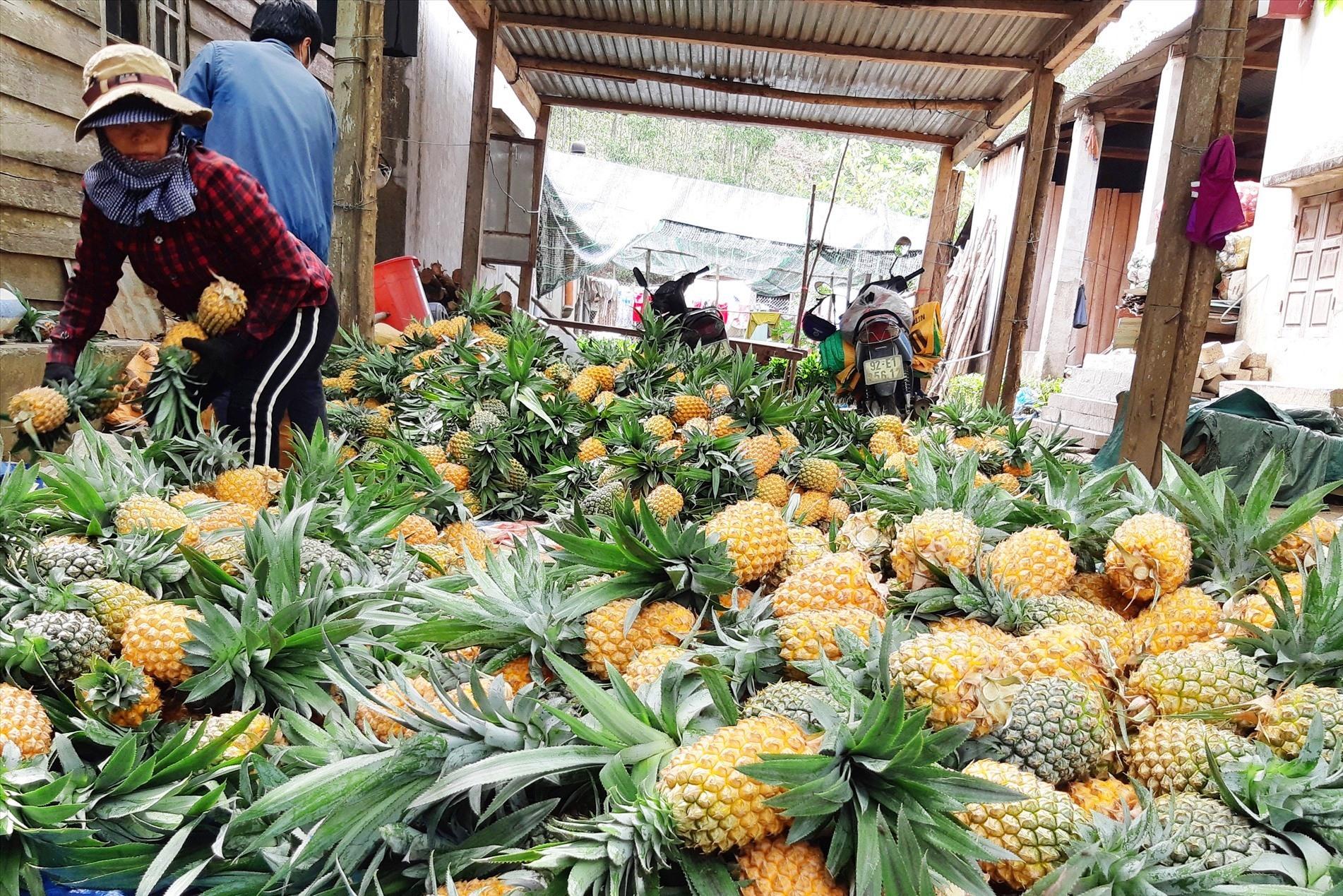 Trái dứa Khe Hoa (Đại Sơn) được thị trường khá ưa chuộng vì thơm ngon, ngọt, giòn, là trái dứa chín rẫy tự nhiên. Ảnh: HOÀNG LIÊN