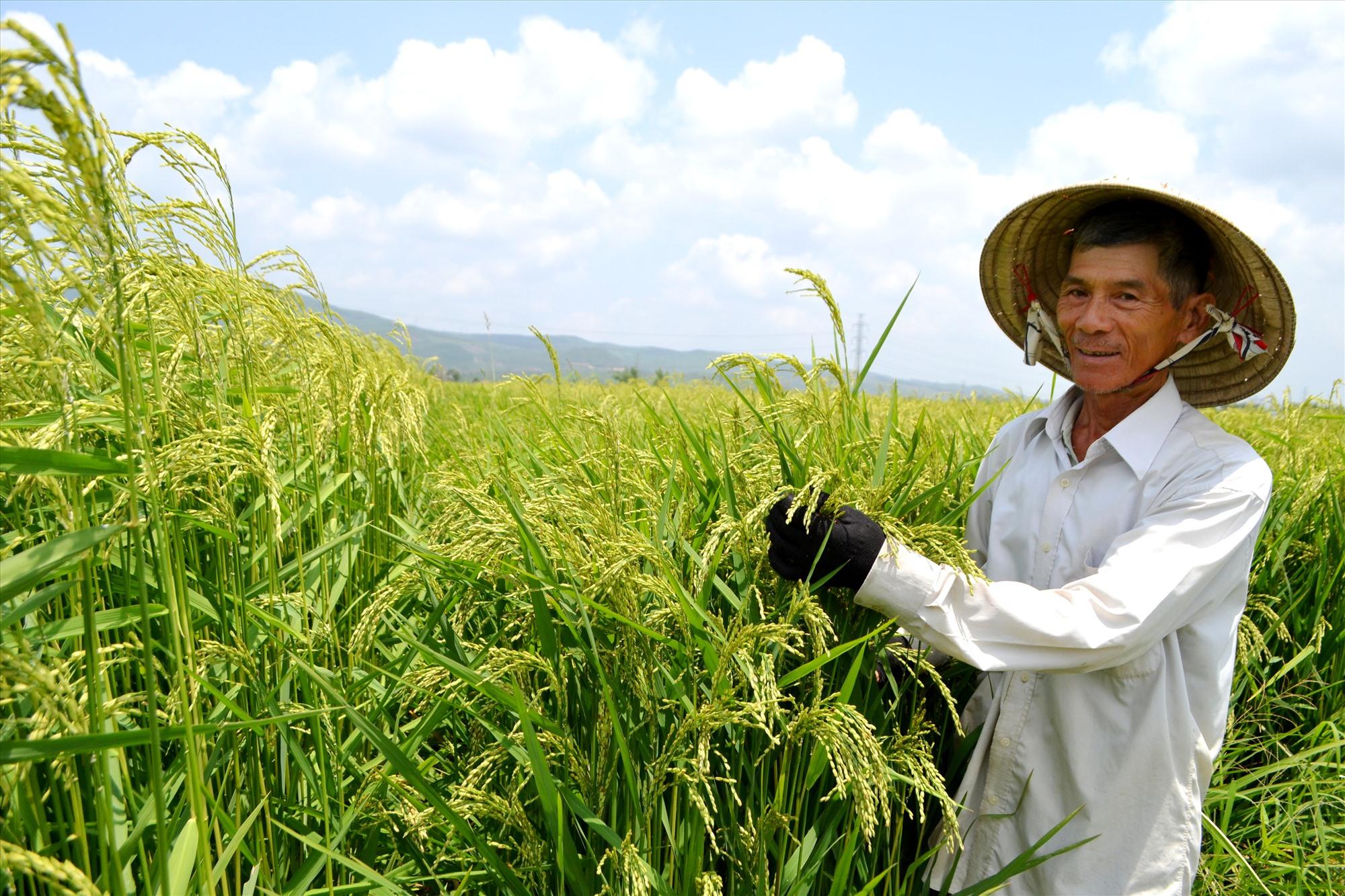 Nông dân thị trấn Ái Nghĩa bên giống lúa mẹ đang ngậm sữa. Ảnh: K.K