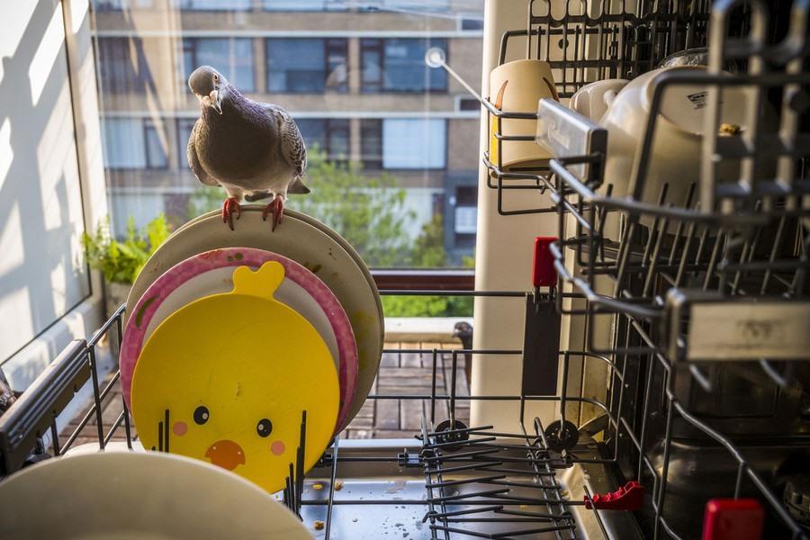 Một cặp chim bồ câu hoang kết bạn với gia đình của nhiếp ảnh gia, những người bị cô lập trong căn hộ của họ ở Vlaardingen, Hà Lan, trong đại dịch COVID-19.