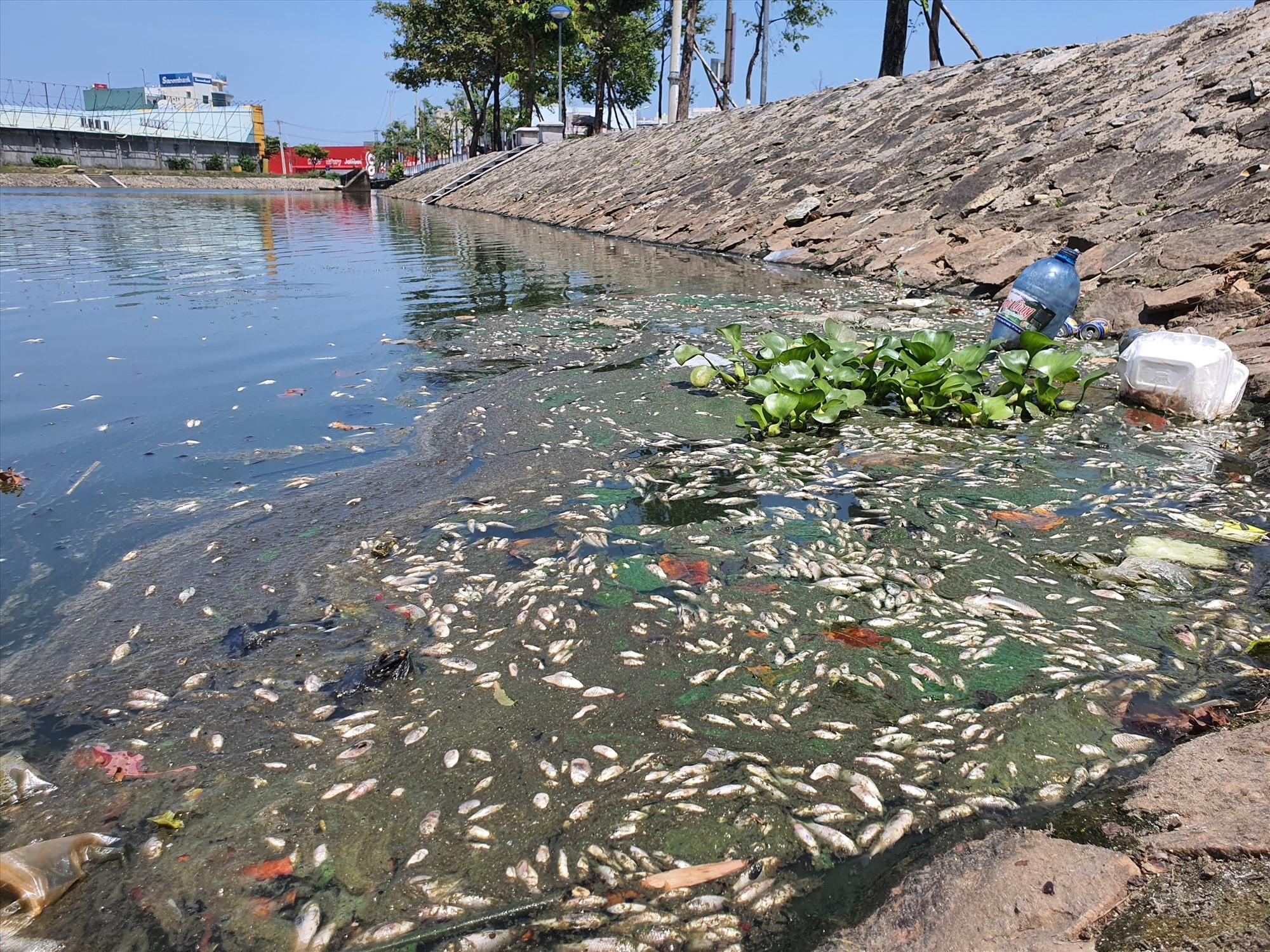 Thời tiết nắng nóng, cá chết phân hủy nhanh nên bốc mùi hôi thối. Ảnh: HOÀI AN
