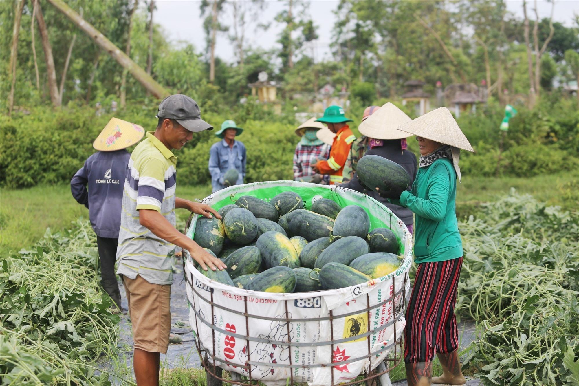Nông dân Phú Ninh thu hoạch dưa hấu. Ảnh: B.A