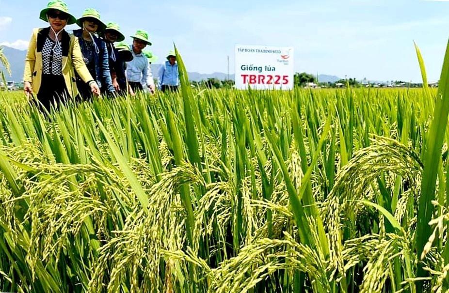 Khảo sát, đánh giá tình hình sinh trưởng và phát triển của những ruộng lúa TBR225 ở xã Đại Minh (Đại Lộc). Ảnh: N.P