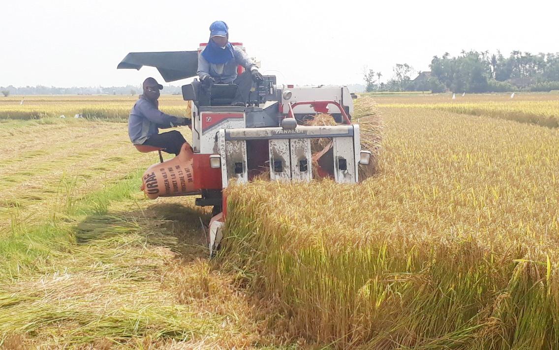 Lúa vụ đông xuân được mùa, được giá người dân xã Tam Xuân 2 phấn khởi.