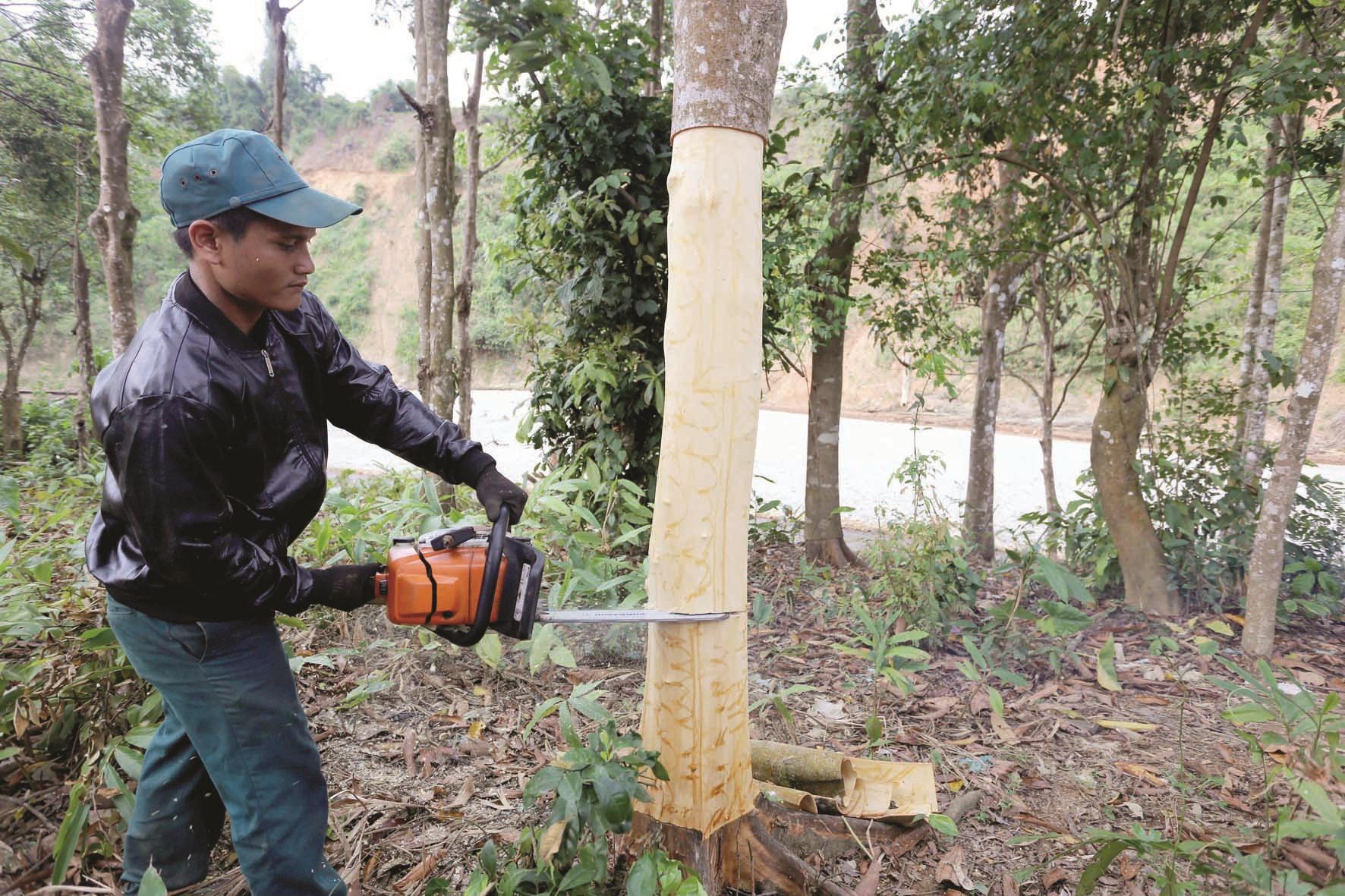 Sau khi bóc lấy phần vỏ dưới gốc, người thợ dùng cưa đốn hạ cây để tiếp tục bóc vỏ phần ngọn.