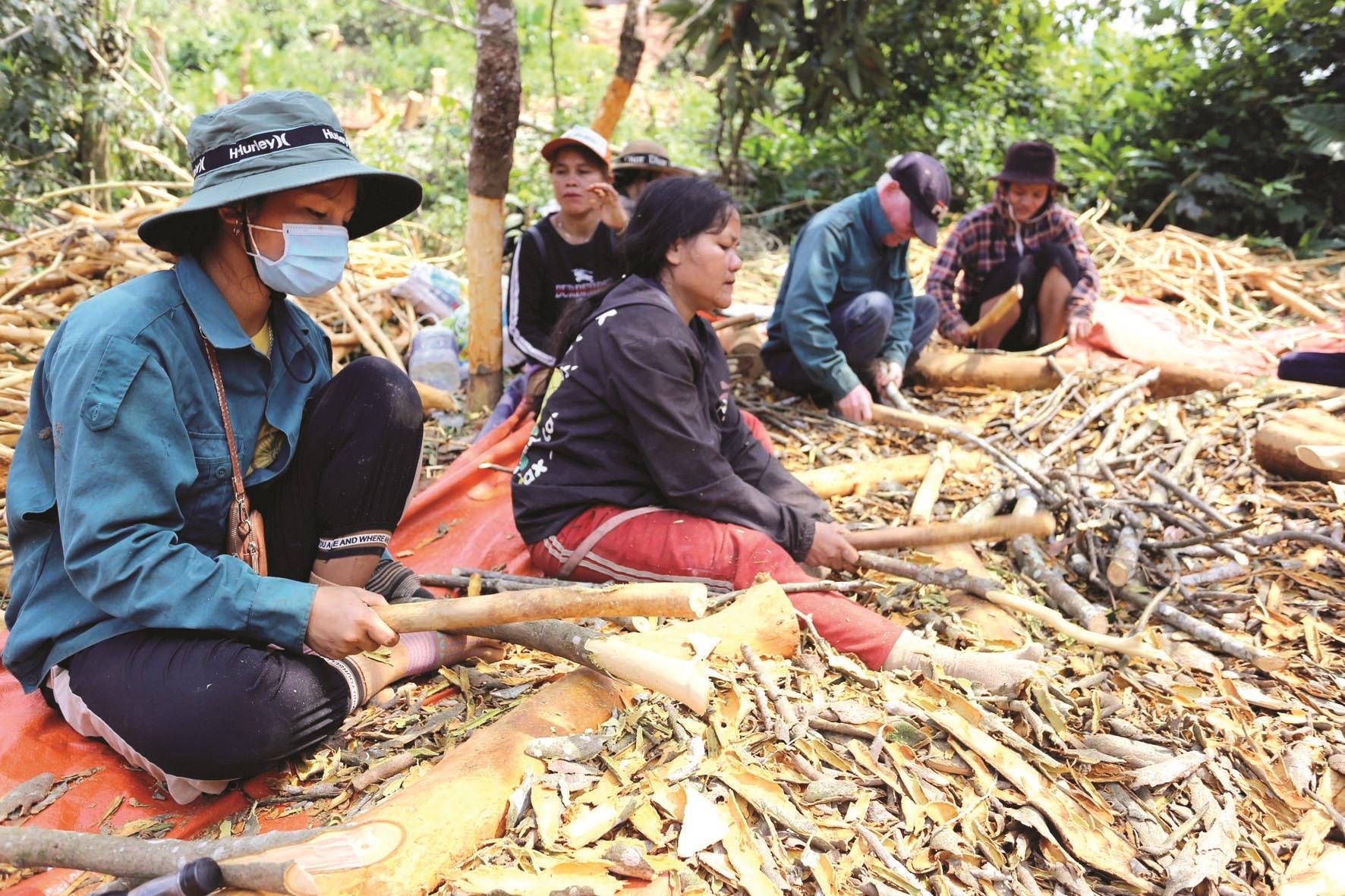 Cành, nhánh nhỏ khó bóc được người thợ dùng khúc gỗ đập mạnh vào để tách vỏ.