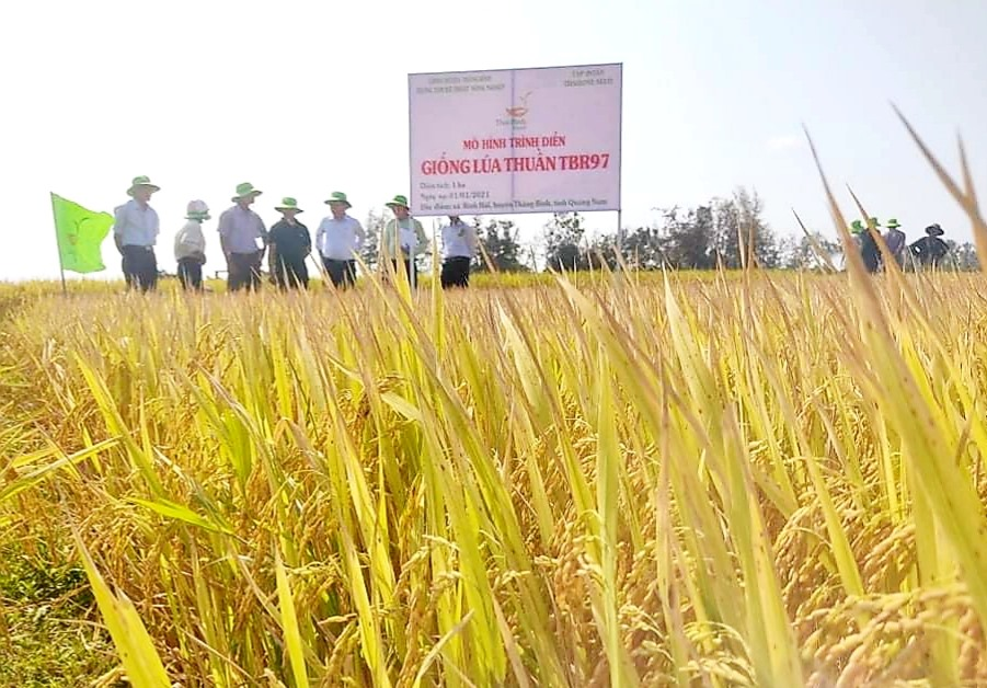 Tham quan mô hình sản xuất giống lúa thuần TBR97 tại xã Bình Hải (Thăng Bình).  Ảnh: N.P