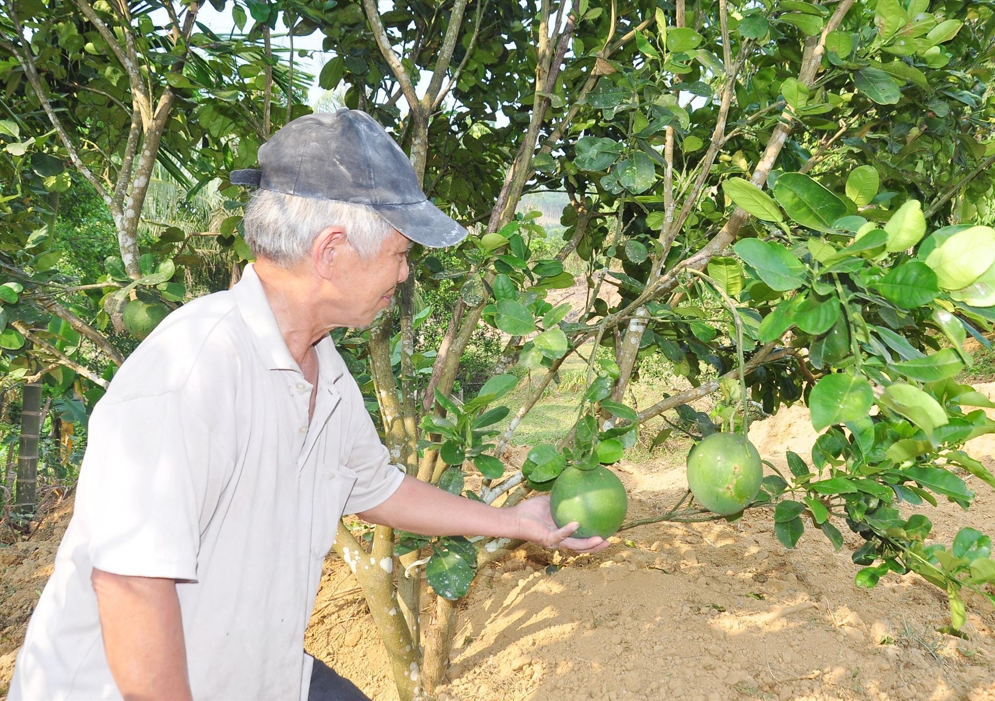 Những năm gần đây, người dân Bình Sơn tập trung đầu tư cải tạo vườn tạp để hình thành nhiều mô hình trồng cây ăn quả cho hiệu quả kinh tế cao. Ảnh: S.A