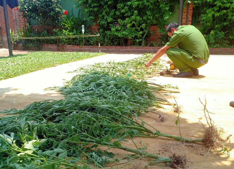 Công an đang kiểm đếm số cây cần sa.