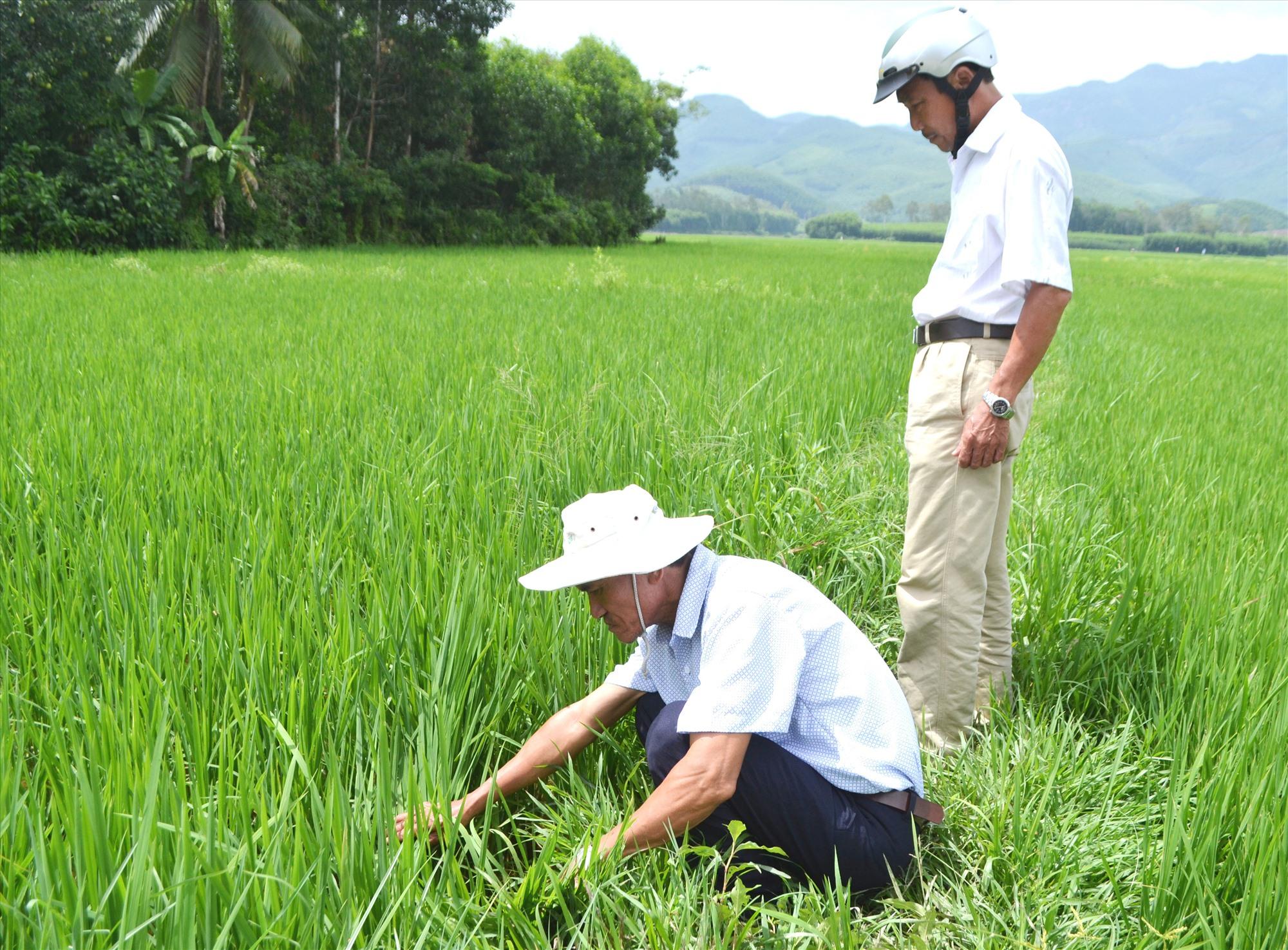 HTX Nông nghiệp - dịch vụ du lịch Tam Mỹ Tây (Núi Thành) liên kết với nông dân canh tác giống nếp bầu Tam Mỹ, sản phẩm OCOP xếp loại 3 sao. Ảnh: C.T