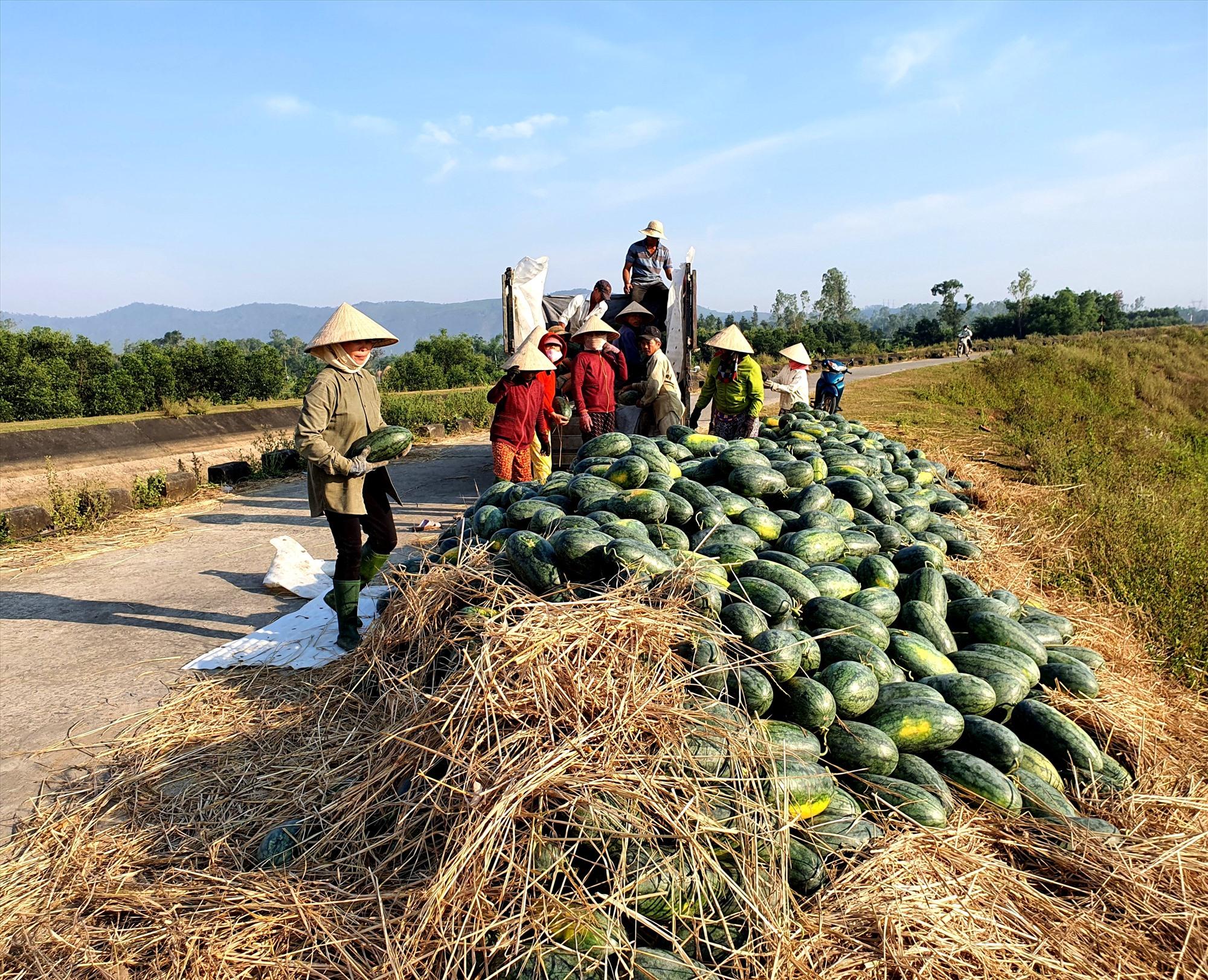 Người nông dân Quảng Nam thu hoạch dưa hấu trong những ngày này.