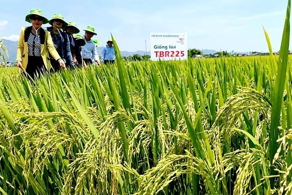 Hiệu quả từ liên kết sản xuất lúa giống. Ảnh: VĂN SỰ