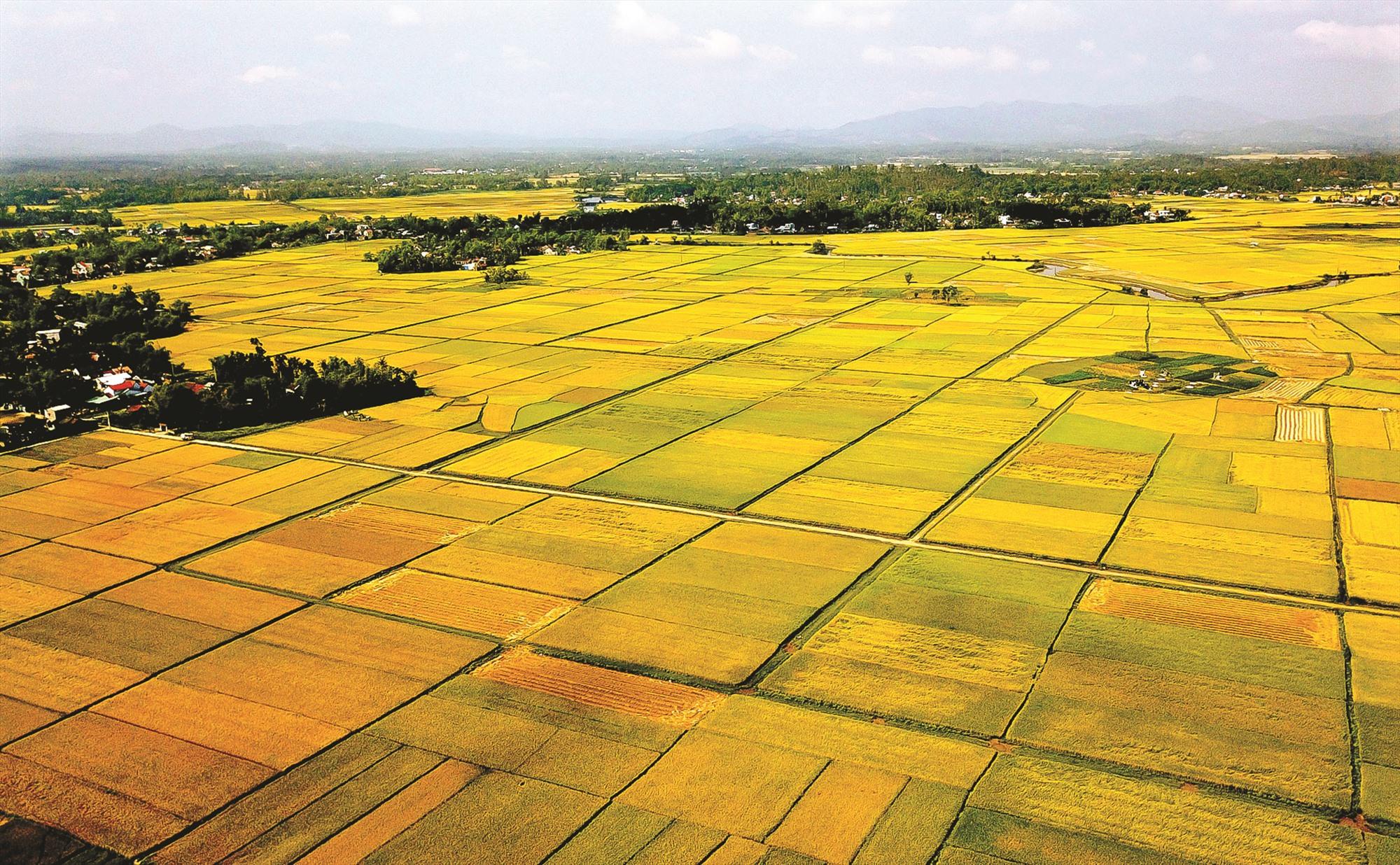 Những thửa ruộng vuông vức, nối tiếp nhau ở Tam An (Phú Ninh).