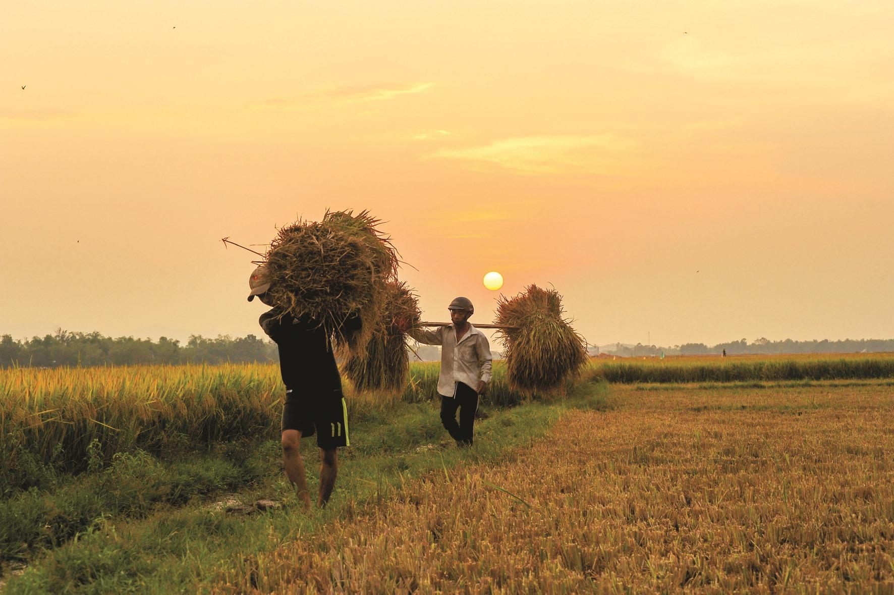 Nông dân ở An Phú (Tam Kỳ) gánh rạ về nhà khi hoàng hôn buông xuống.