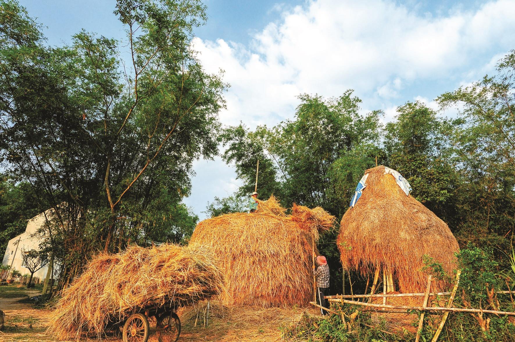 Kết thúc mùa gặt, rơm được chất thành đống để làm thức ăn cho gia súc.
