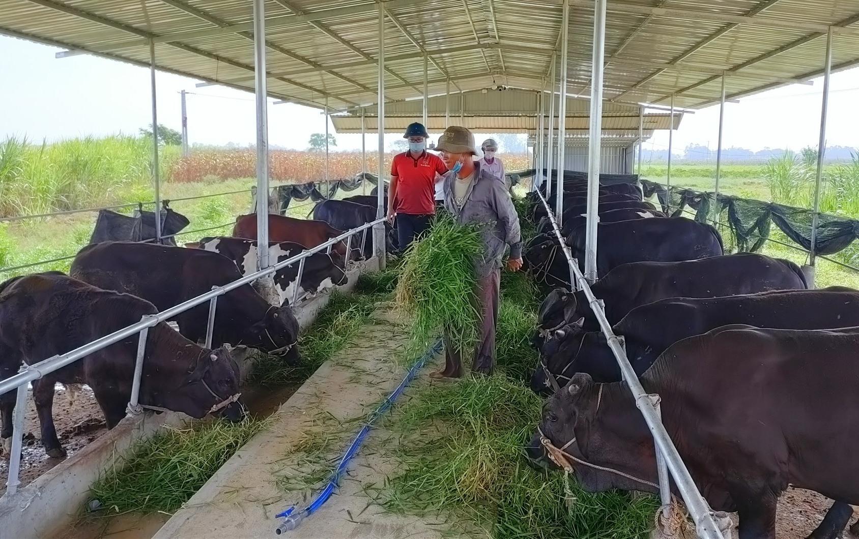 Mô hình chăn nuôi giống bò 3B đang được nhiều nông dân đầu tư, mang lại hiệu quả kinh tế cao. Ảnh: N.Trang