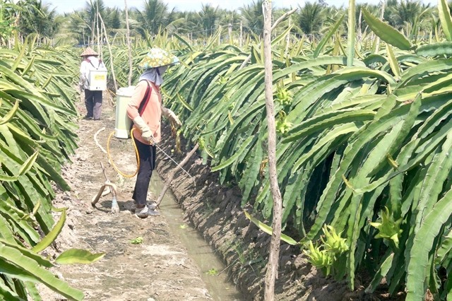 Farmers tend dragon fruit in Tien Giang province's Cho Gao district (Photo: VNA)