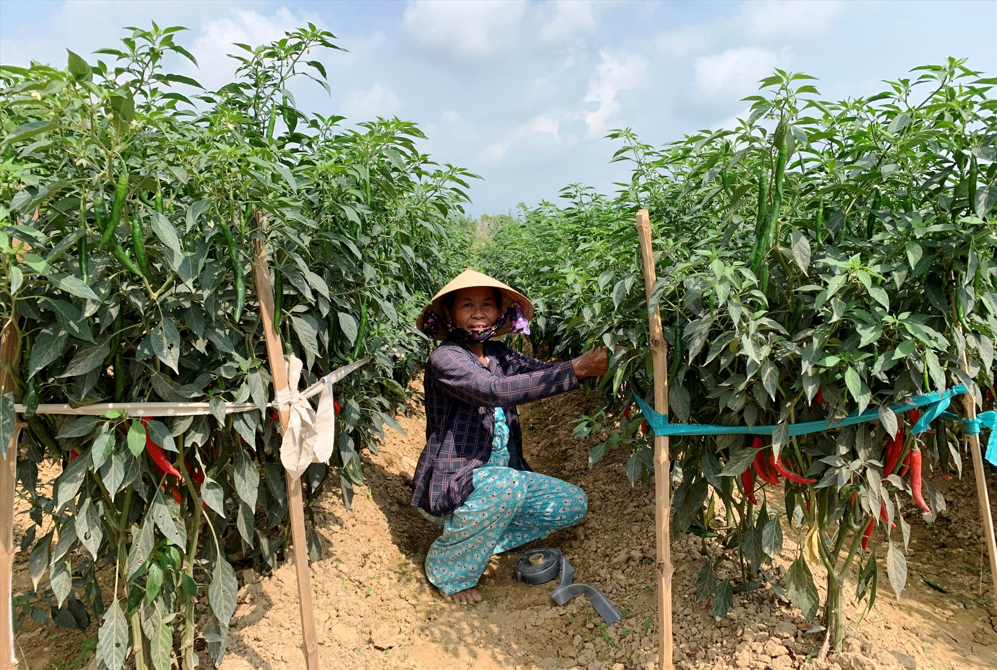 Mặc dù đầu ra sản phẩm rất khó khăn nhưng nhiều gia đình vẫn chăm bón ruộng ớt để hái quả ở những đợt tiếp theo.   Ảnh: T.S