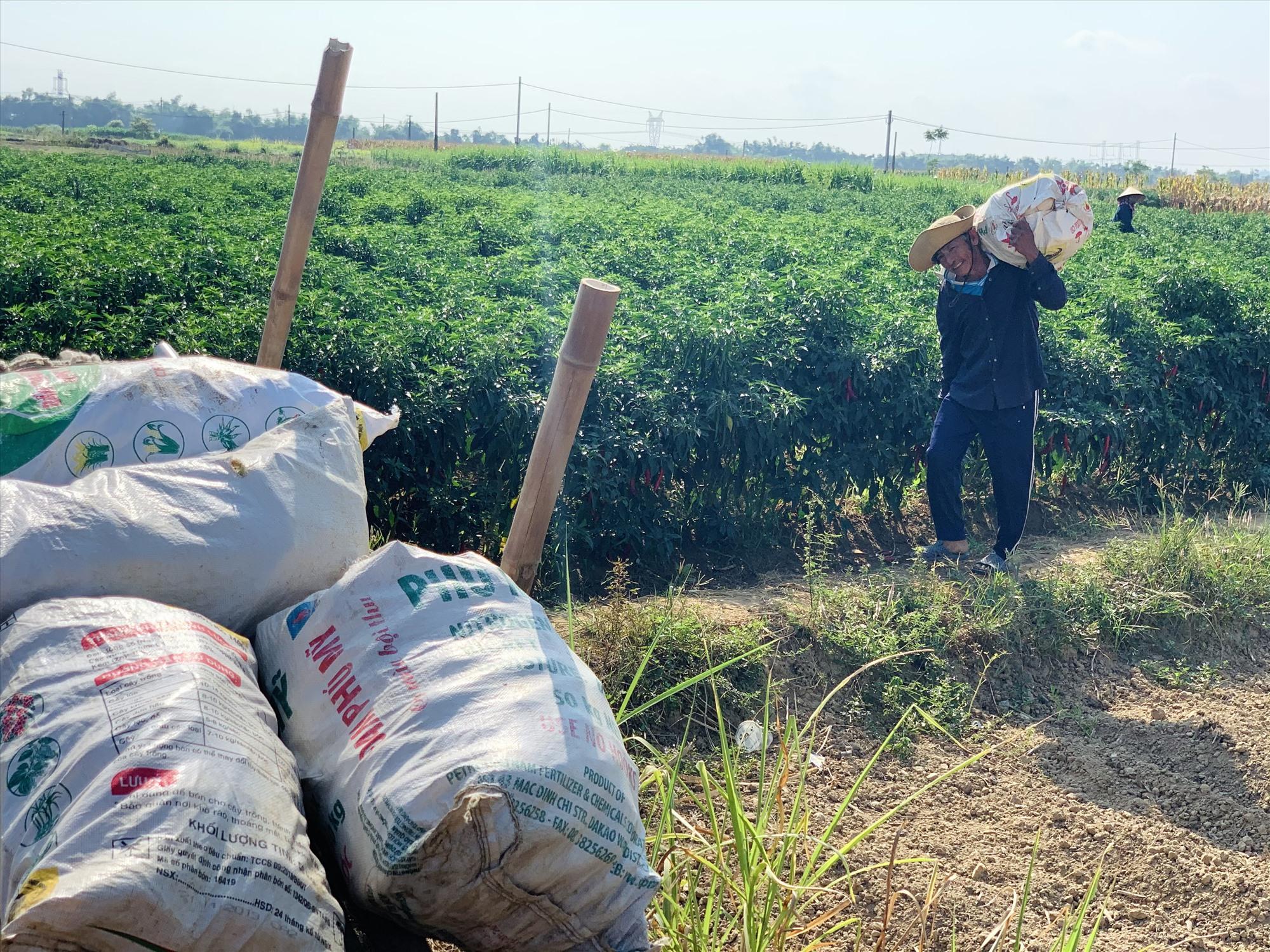Thương lái không đến tận ruộng thu mua như trước, nhà nông đành hái ớt chở về nhà.  Ảnh: T.S
