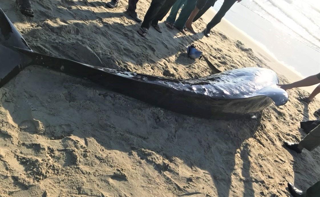 Cá heo dài 3m, có màu đen óng dạt vào bờ xã Duy Hải. Ảnh: B.A