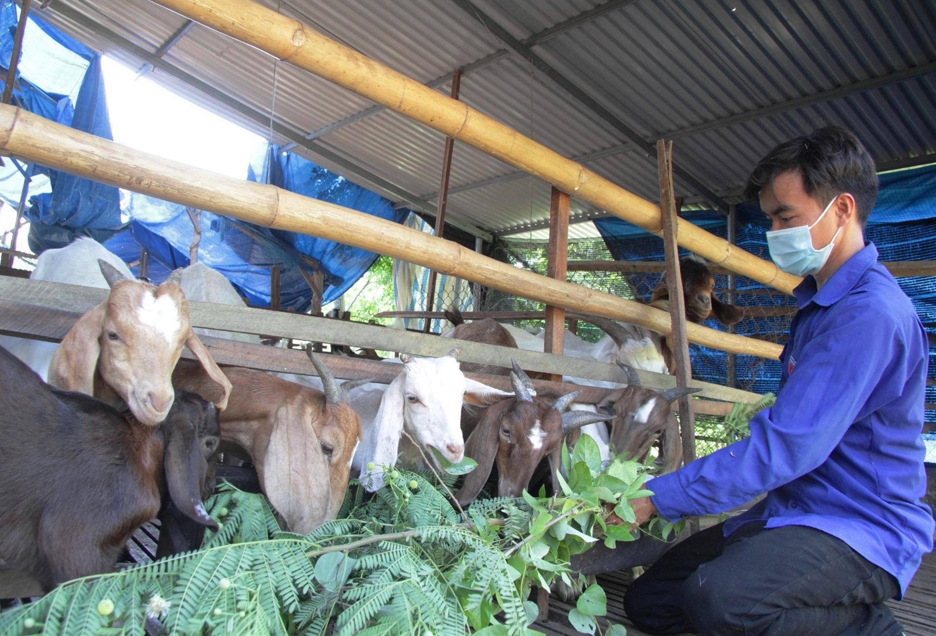 Chàng nông dân trẻ Trương Văn Thành cho đàn dê của mình ăn. Ảnh: H.Q