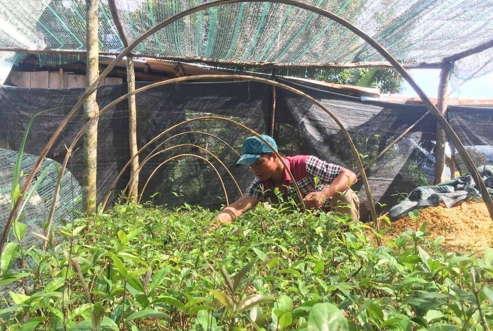Anh Cơlâu Thái Ngọc đang chăm sóc vườn cây Ba kích tím. Ảnh H.Thúy