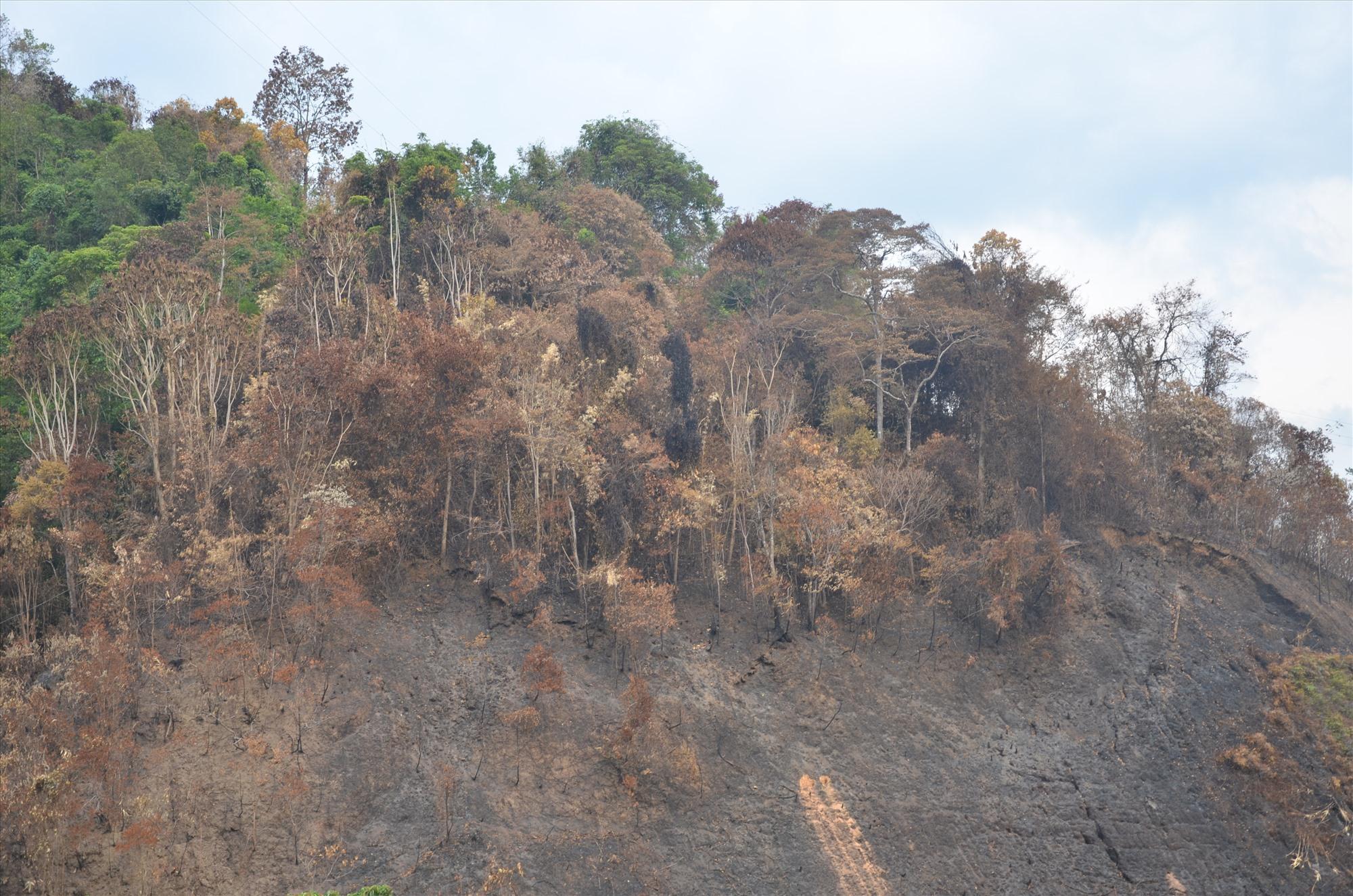 Vụ cháy rừng vào mùa khô năm ngoái thiêu rụi hơn 33ha rừng phòng hộ xã Mà Cooih (Đông Giang). Ảnh: H.P