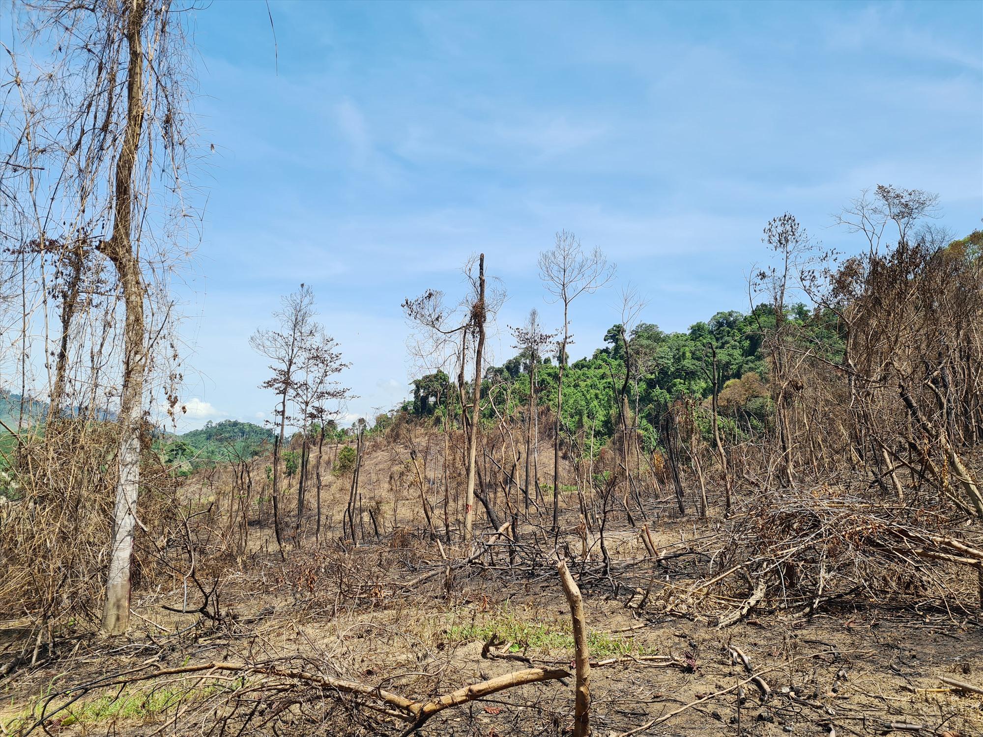 Hiện trường vụ đốt thực bì dẫn đến thiêu rụi tài nguyên rừng tại Tiểu khu 689 xã Phước Kim (Phước Sơn). Ảnh: H.P