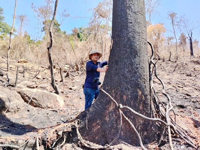 Tại hiện trường Tiểu khu 689 xã Phước Kim, nhiều gốc cây có đường kính to bị đốt cháy đen khó có thể sống. ẢNH: N.T