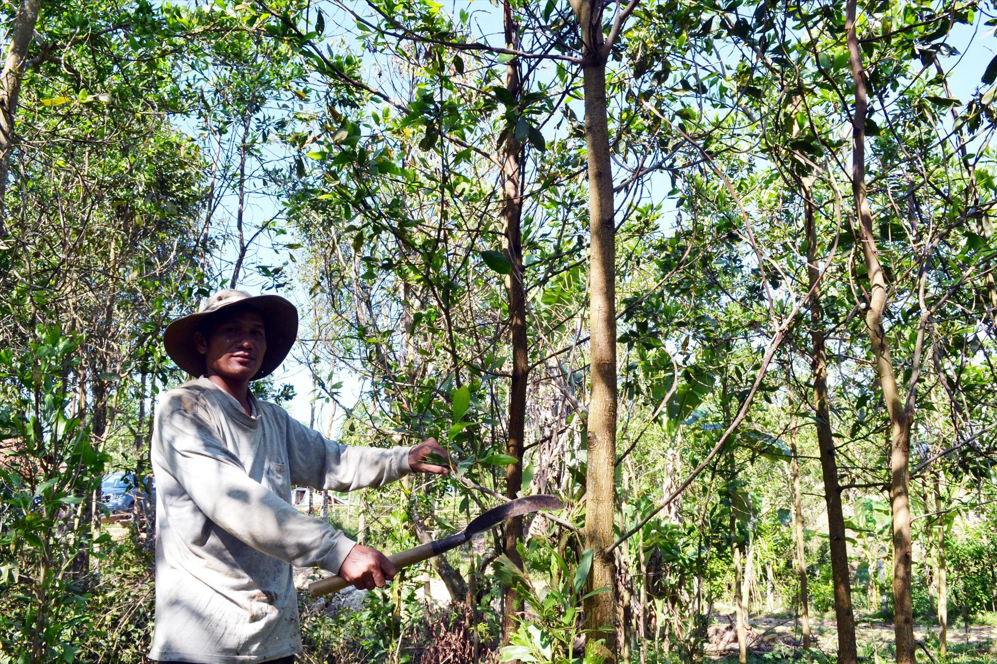 Ông Nguyễn Văn Linh (dân tộc Co) với rừng keo 8ha. Ảnh: VIỆT NGUYỄN