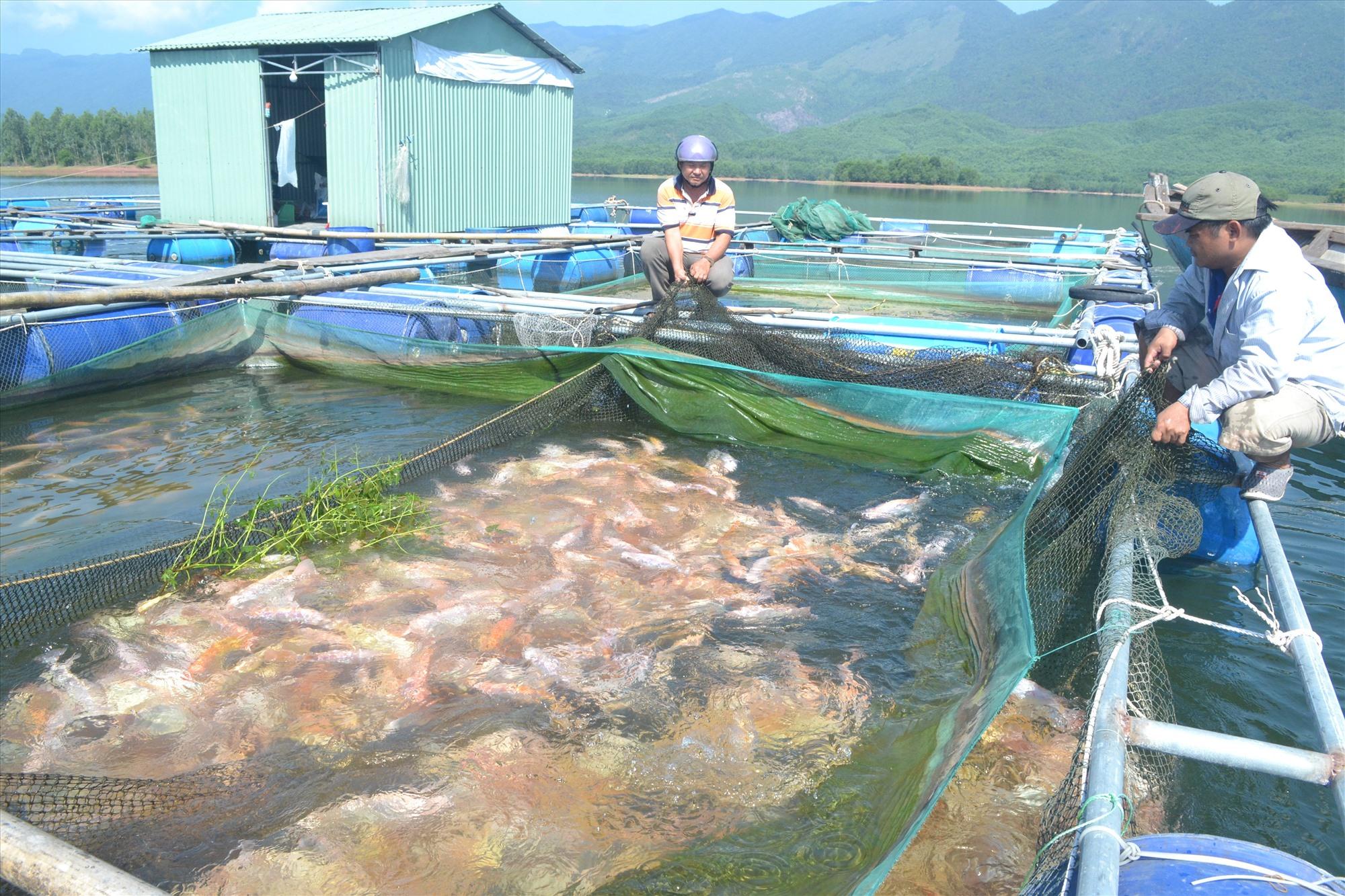 Người dân nuôi cá trong lồng bè ở hồ thủy điện Sông Tranh 2. Ảnh: Q.VIỆT