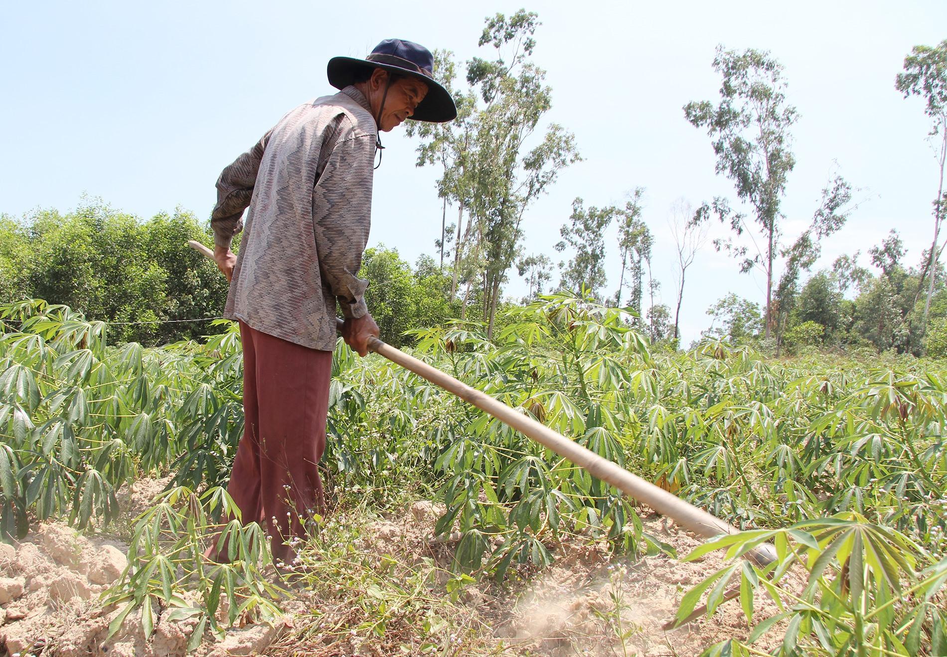 Chuyển đổi đất kém hiệu quả kinh tế sang trồng sắn mang lại thu nhập ổn định cho người dân xã Tam Anh Bắc. Ảnh: Q.H